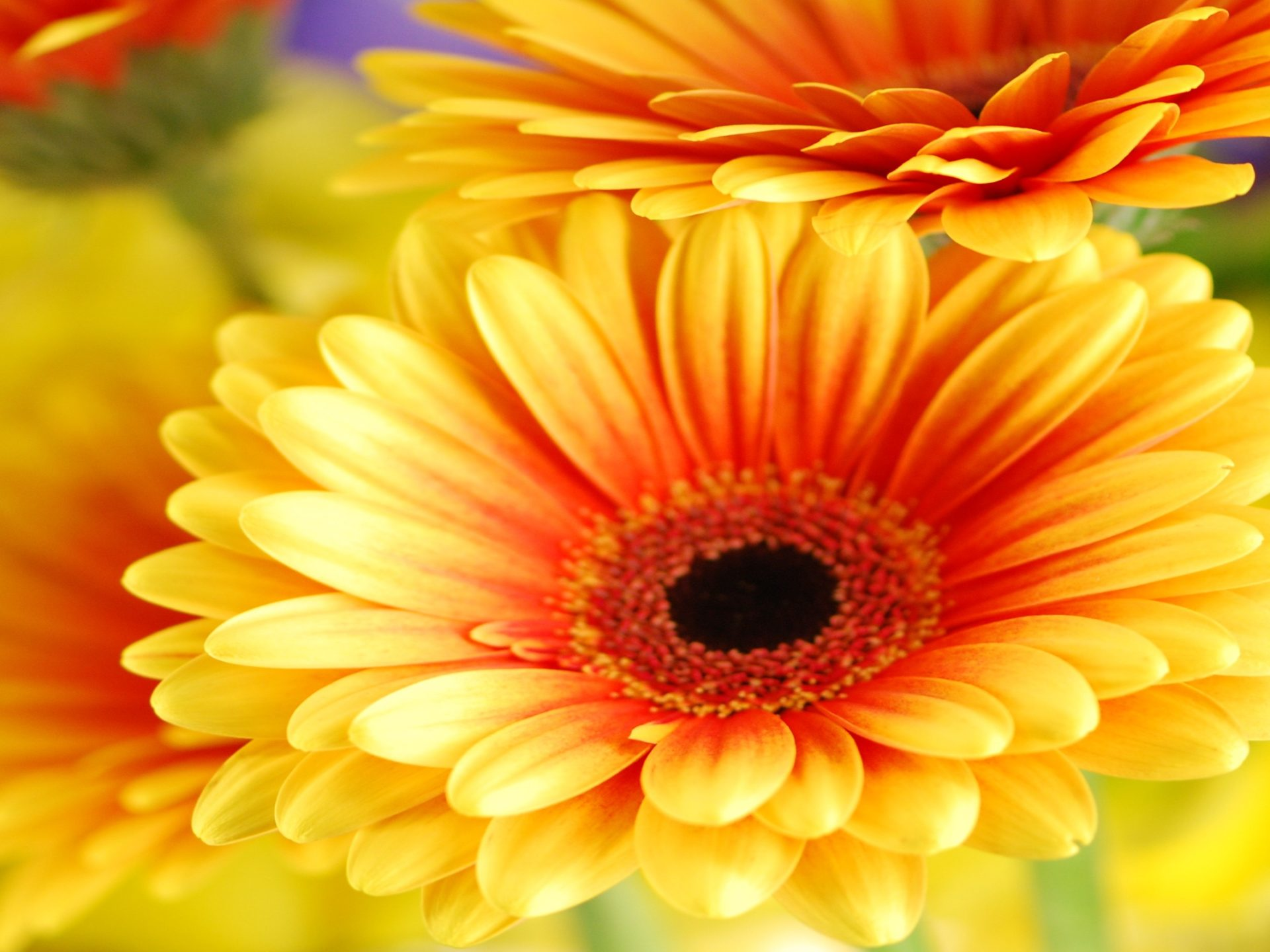 Cute Wallpapers Screensavers Gerbera Daisy Flowers Cute Wallpapers Free Download Cute