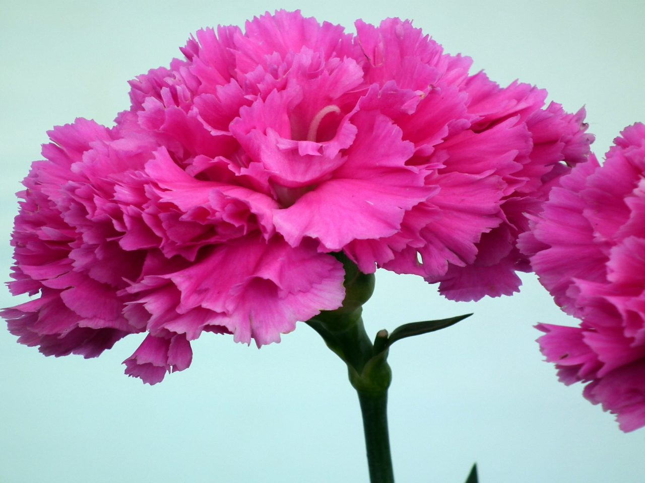 New Hd Wallpapers For Iphone 4 Hot Pink Carnation Flower Wallpapers13 Com