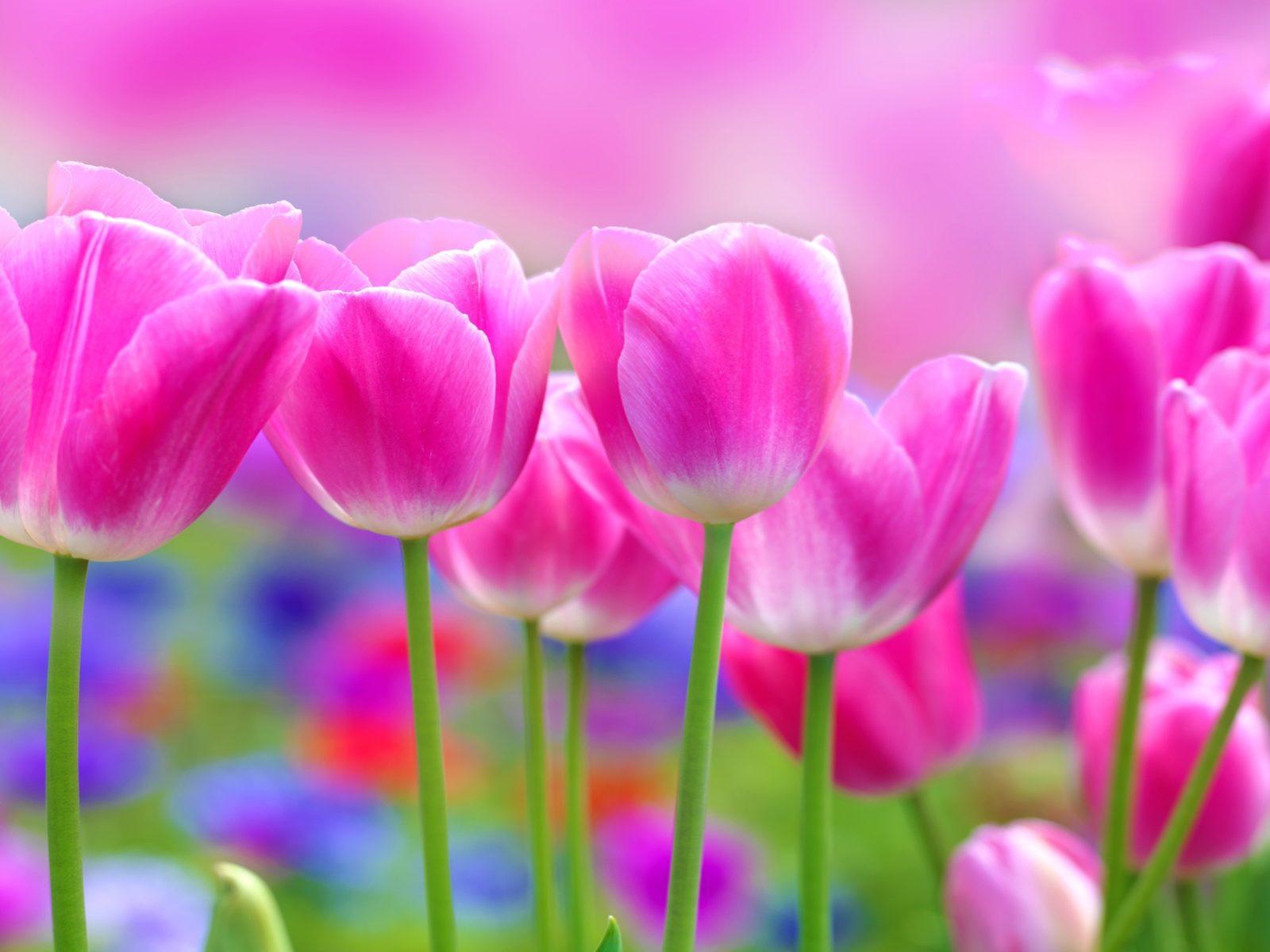 Desert Landscape Wallpaper Hd Beautiful Pink Tulips Flowers Blur Background 2560x1600