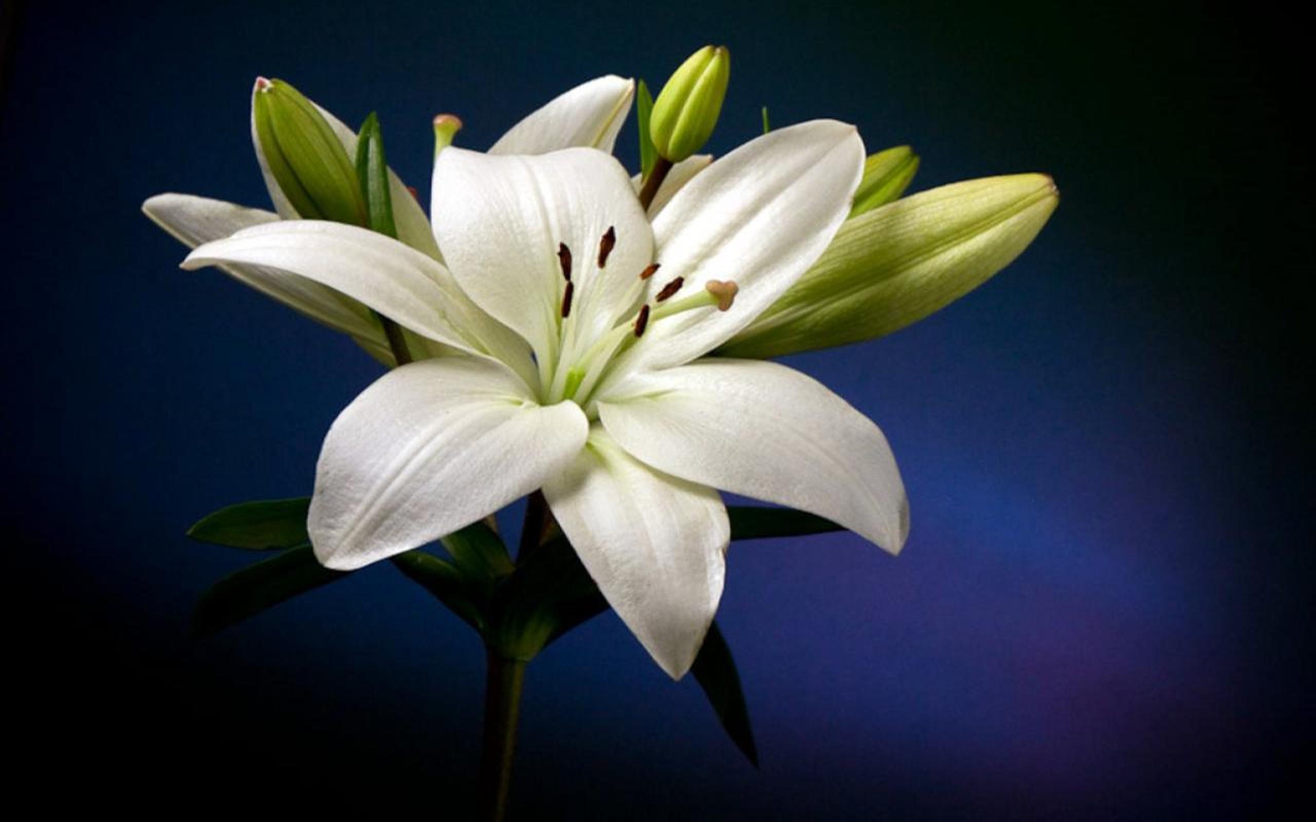 Rose Flower Wallpaper Hd Free Download Beautiful White Lily Flower Hd Wallpaper Wallpapers13 Com