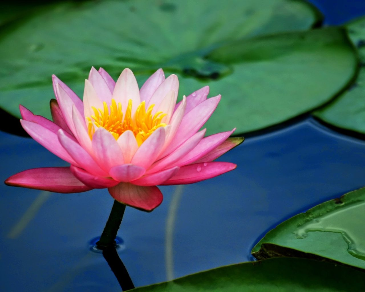 Colorful Iphone Wallpaper Flower Pink Lotus Flower And Lily Pads 2560x1600