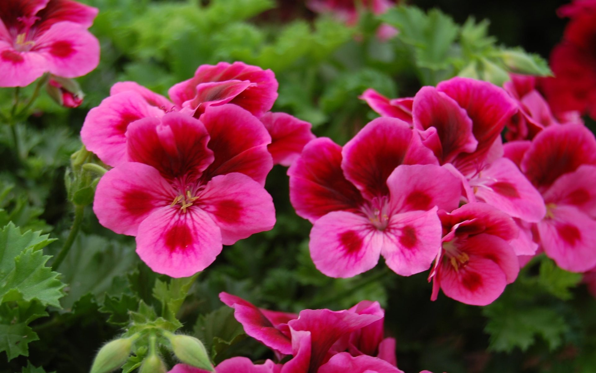 Cute Lock Screen Wallpapers For Iphone Geranium Candy Flowers Pink W Eye Wallpapers13 Com