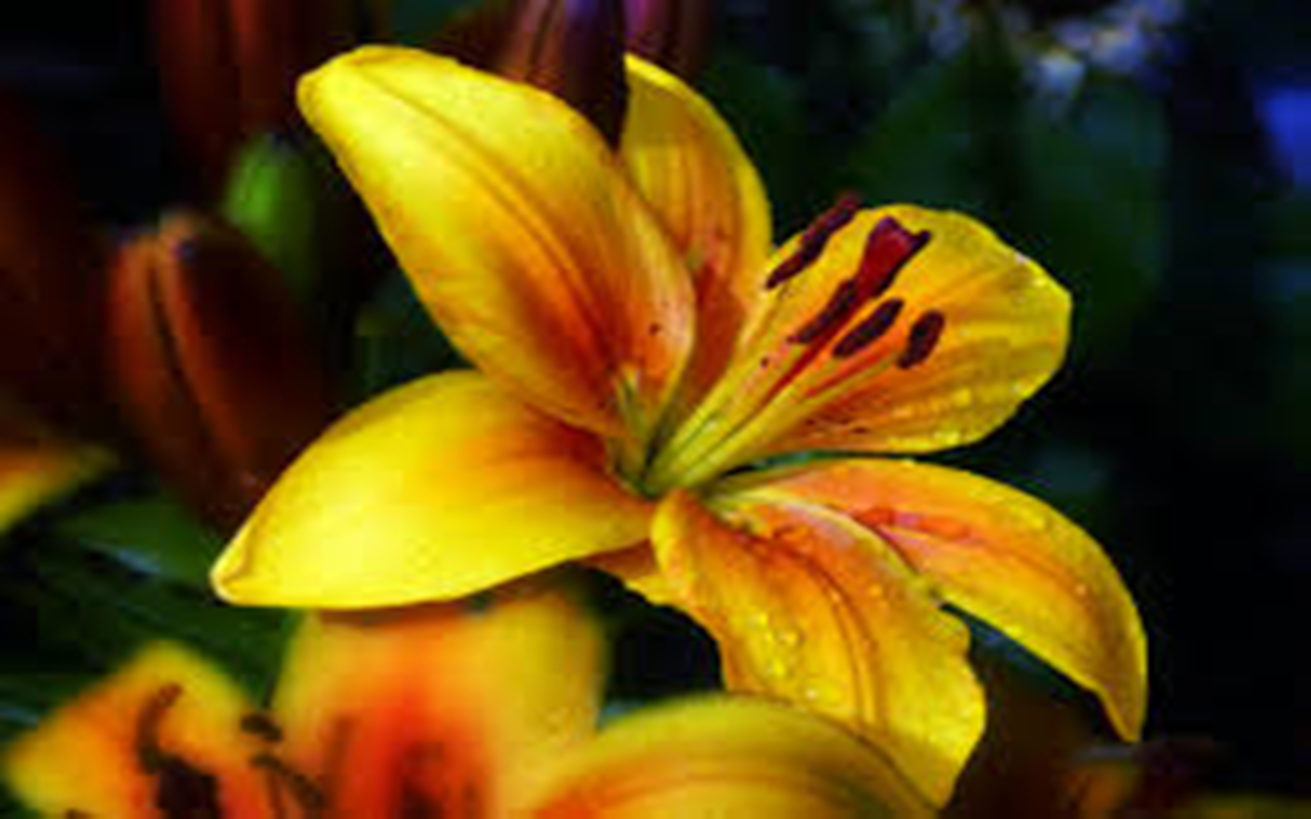 3d Purple Wallpaper For Tablet Golden Lily Flower Yellow Nature 2560x1600 Wallpapers13 Com
