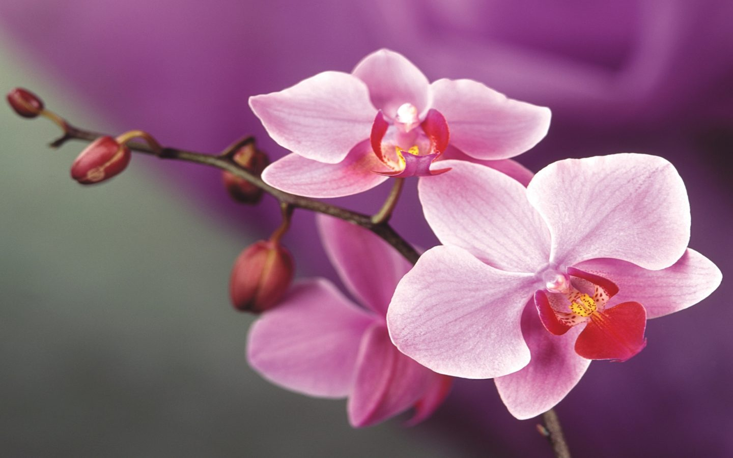 Orchid Iphone Wallpaper Pink Orchid Flowers 2560x1600 Wallpapers13 Com