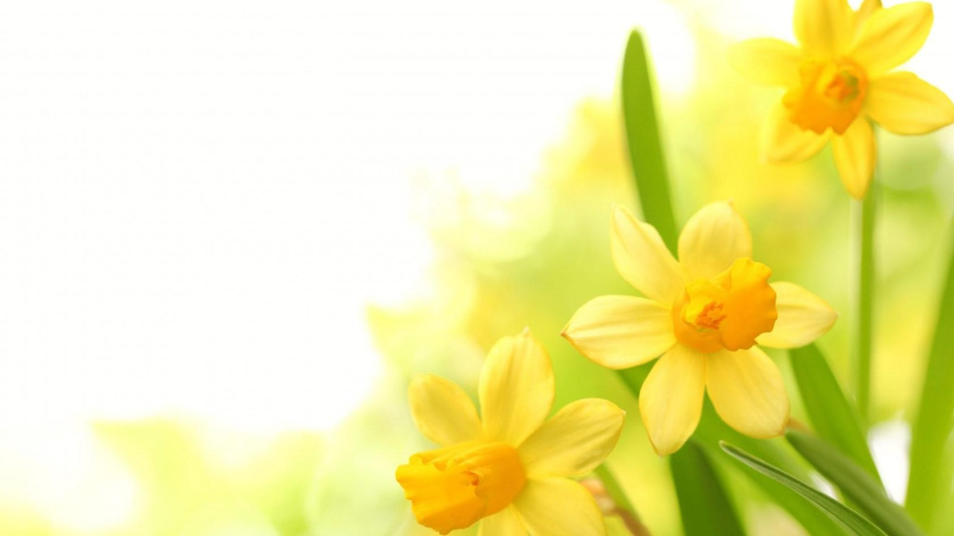 Cute Bunny Wallpaper Hd Plants Narcissus Yellow Flower Wallpapers13 Com