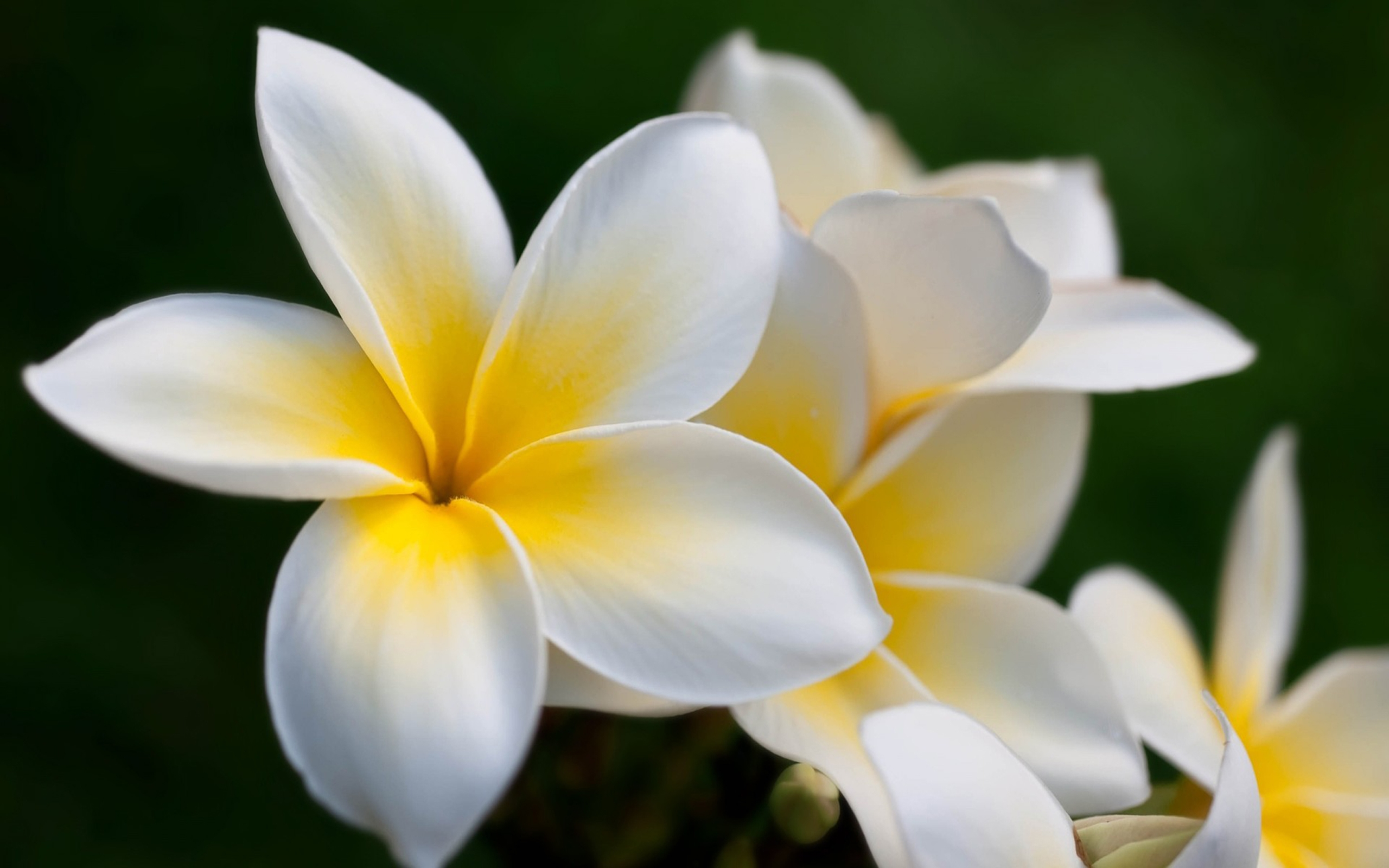 Natural Hd Wallpaper Download For Android Plumeria Flower Hd Wallpaper 581775 Wallpapers13 Com
