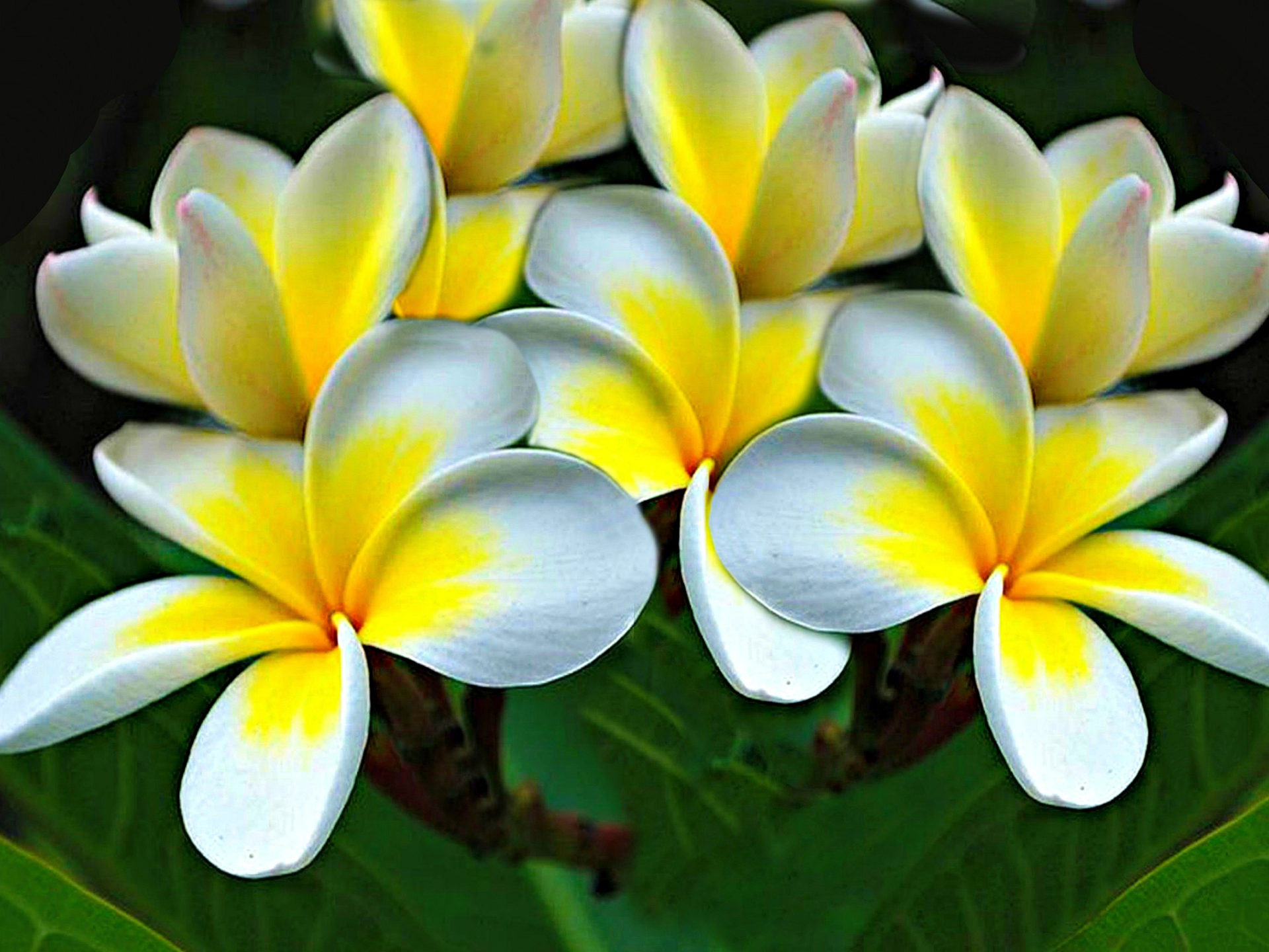 Pink Apple Wallpaper Iphone Plumeria Flowers Yellow White Hd Wallpaper 1571