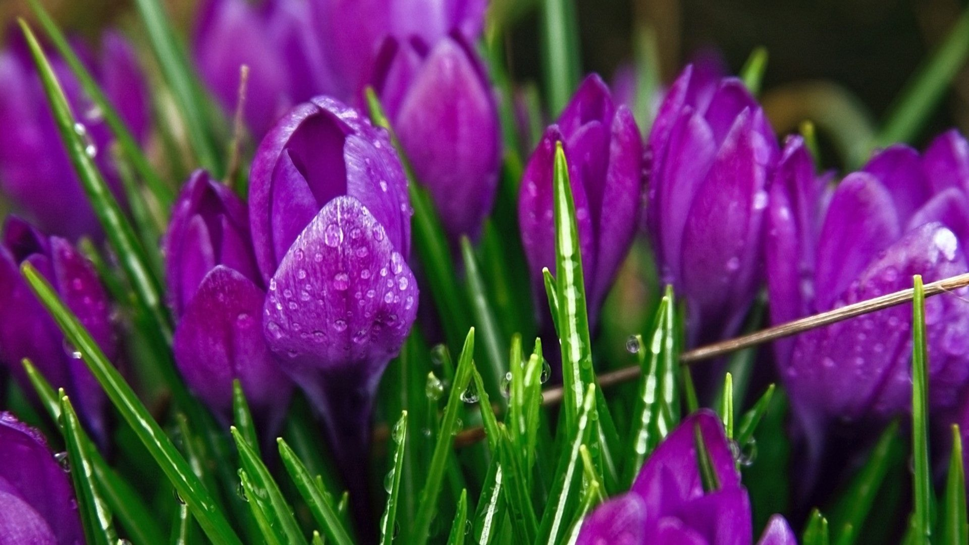 Cool 3d Abstract Wallpapers Purple Flowers Tulips Dew Drops 2560x1600 Wallpapers13 Com