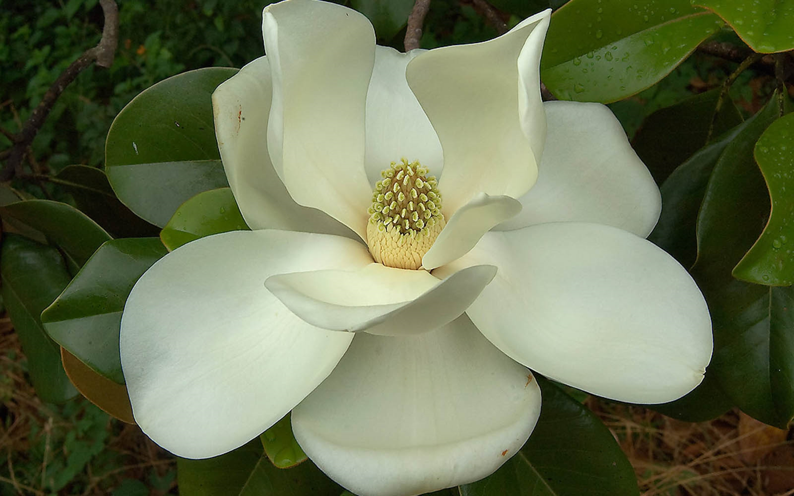 Mississippi State Wallpaper Iphone Southern Magnolia Flower 721 Wallpapers13 Com