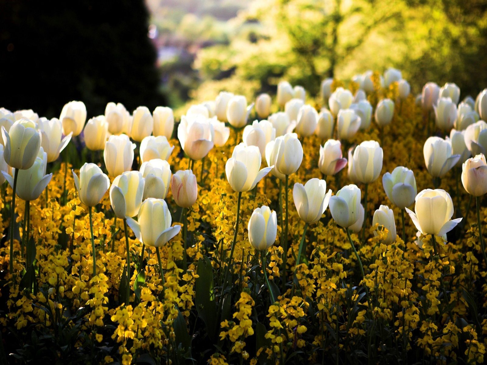 Hd Wallpaper Cars 2015 Spring Park White Tulip Flowers 2560x1600 Wallpapers13 Com
