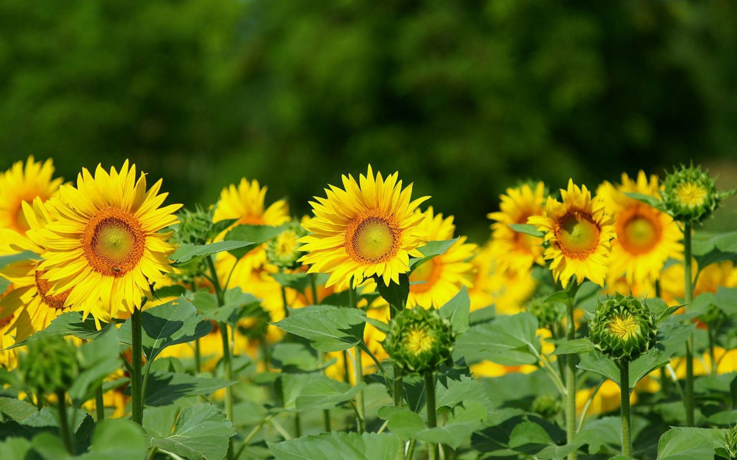 Fall Desktop Wallpaper With Sunflowers Sunflower Background Image Wallpapers13 Com