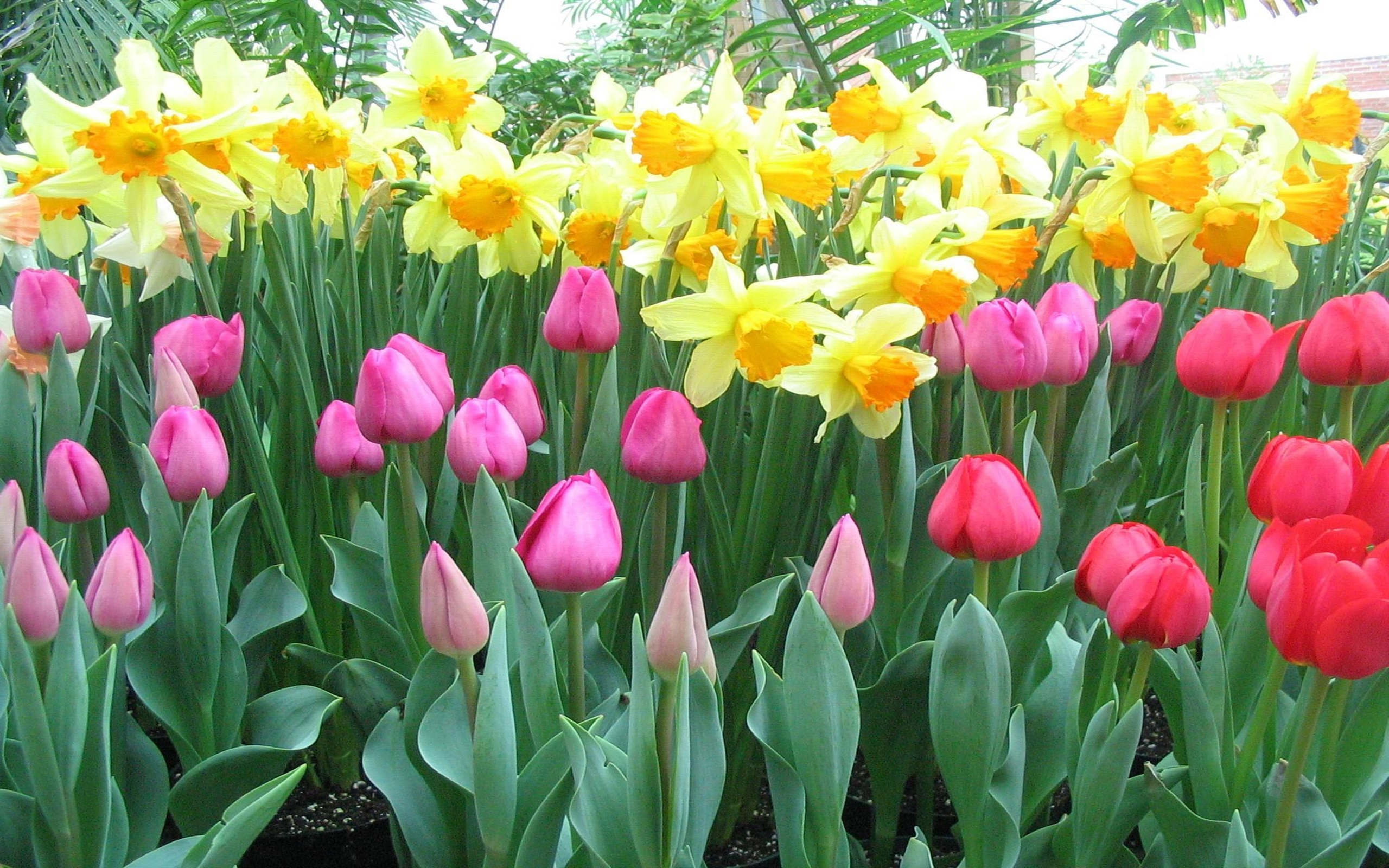 Floral Wallpaper For Iphone 5 Tulips And Daffodils Wallpapers13 Com