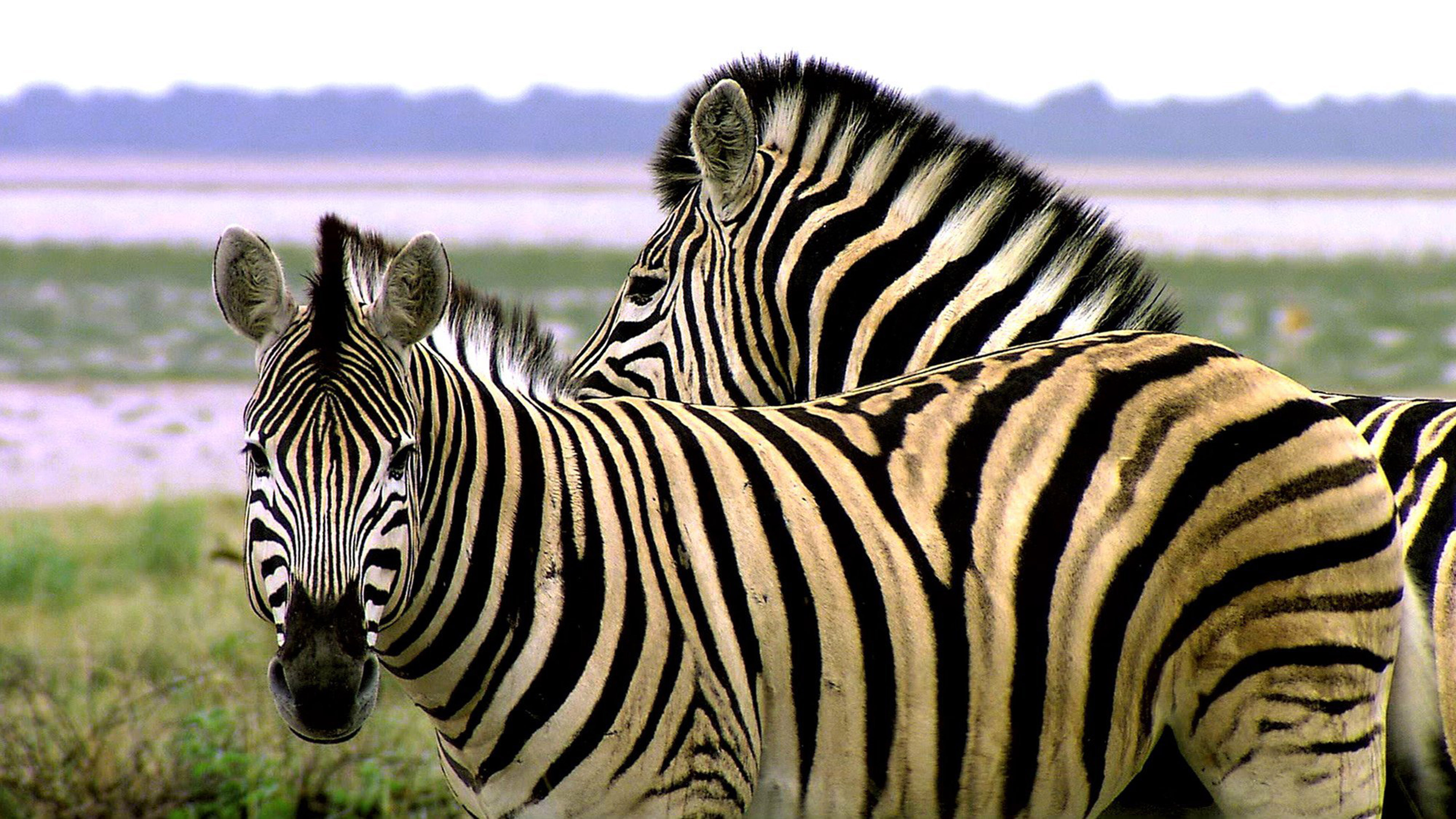 Moving Animation Wallpaper For Desktop Animals Of Africa Zebra Striped Like A Tiger Hd Wallpaper