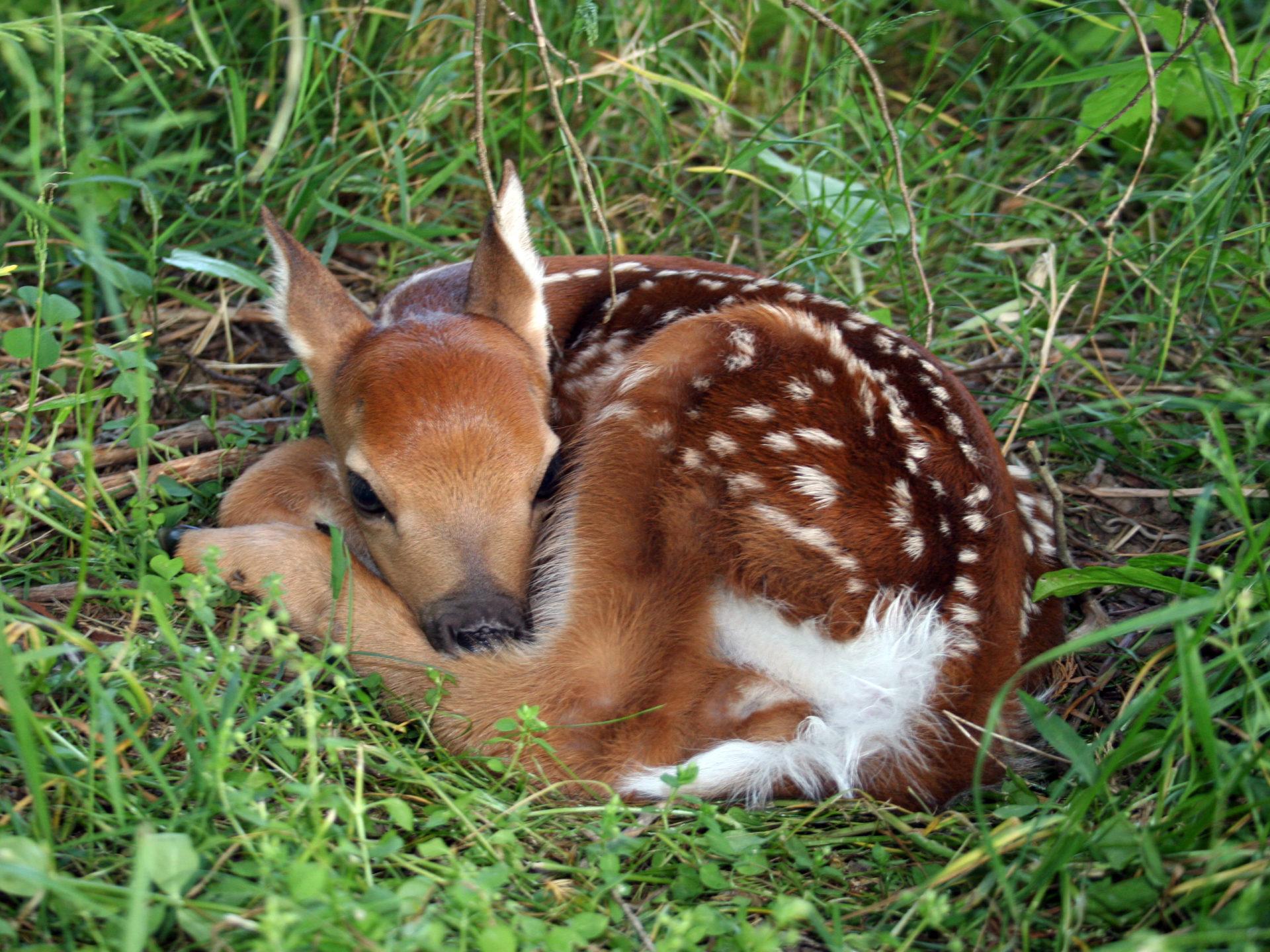 Cute Cubs Wallpaper Baby Deer Hd Wallpaper 59207 Wallpapers13 Com