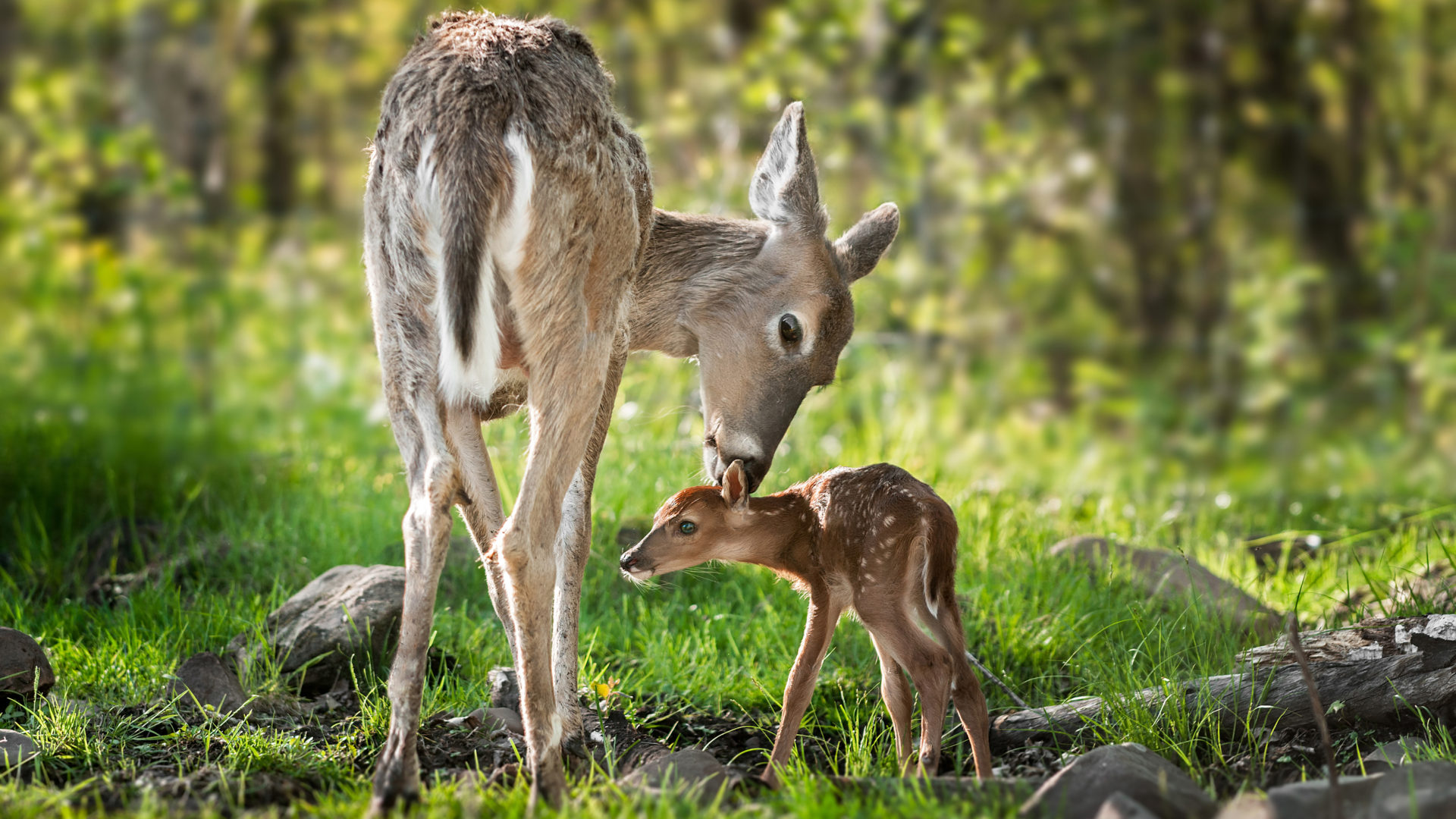 Cute Babies Hd Wallpapers 1366x768 Beautiful Mom White Tailed Deer Cleaning Her Baby