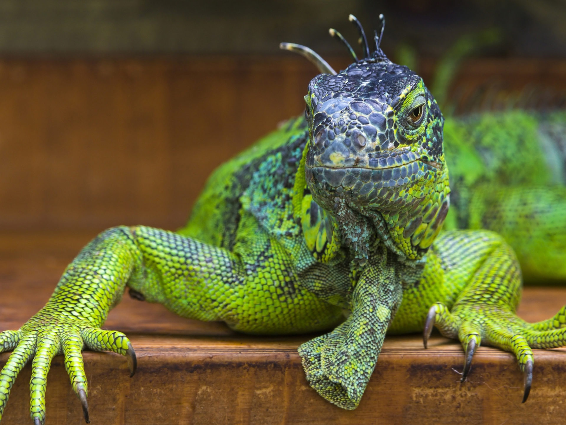 Free Download Cute Baby Wallpaper For Pc Big Green Iguana Iguana Wallpaper Hd Wallpapers13 Com