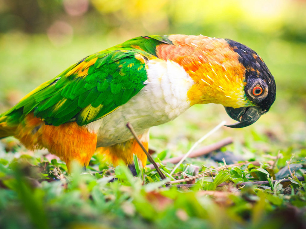 Free 3d Dinosaur Wallpaper Caique Parrot Various Colorful Paints Wallpaper Hd For