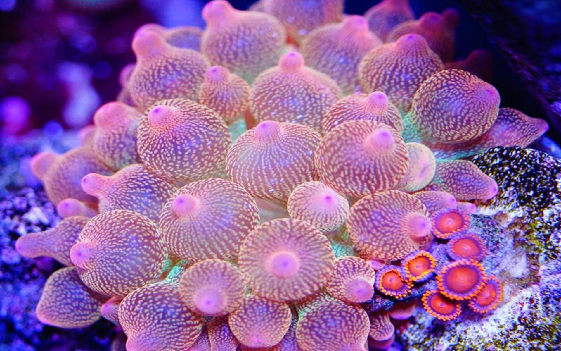 Sea Turtle Iphone Wallpaper Entacmaea Quadricolor Commonly Called Bubble Tip Anemone