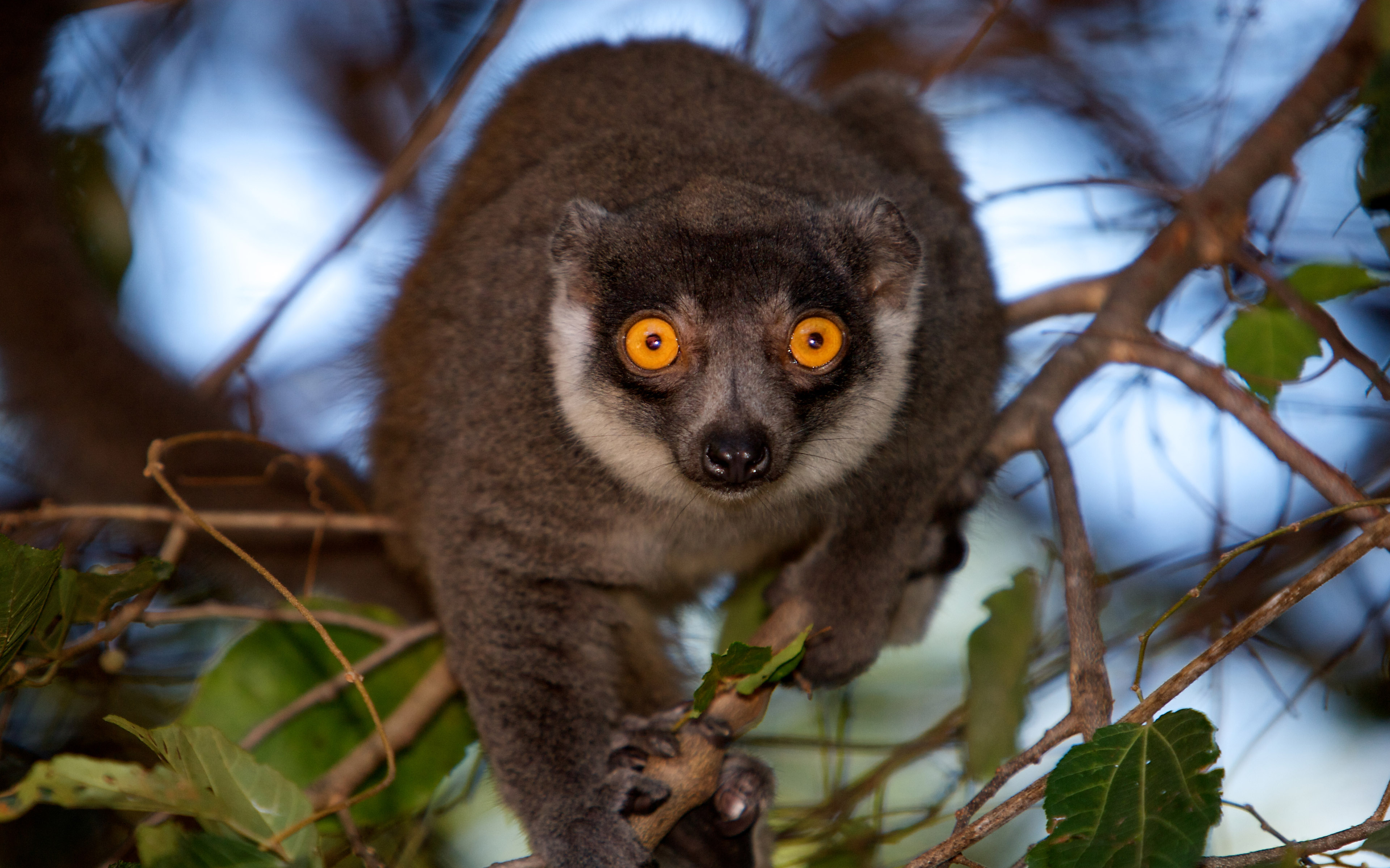 Hd Wallpapers Android Lock Screen Lemur From Madagascar Wallpaper Hd Wallpapers13 Com