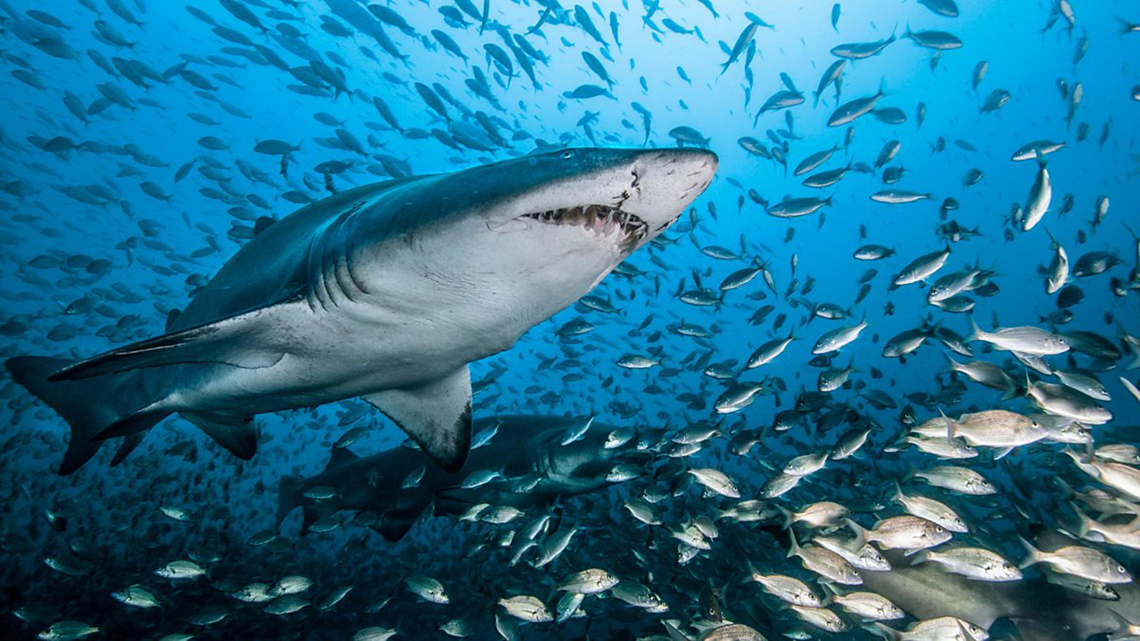 Flowers Wallpapers For Desktop Full Size Hd Ocean Underwater World Shark Fish Water Beautiful Hd