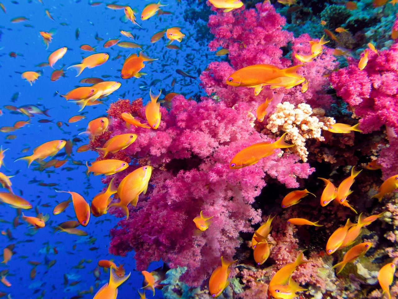 Koi Fish Iphone Wallpaper Ocean Sea Tropical Coral Reefs Orange Fish Wallpaper Hd