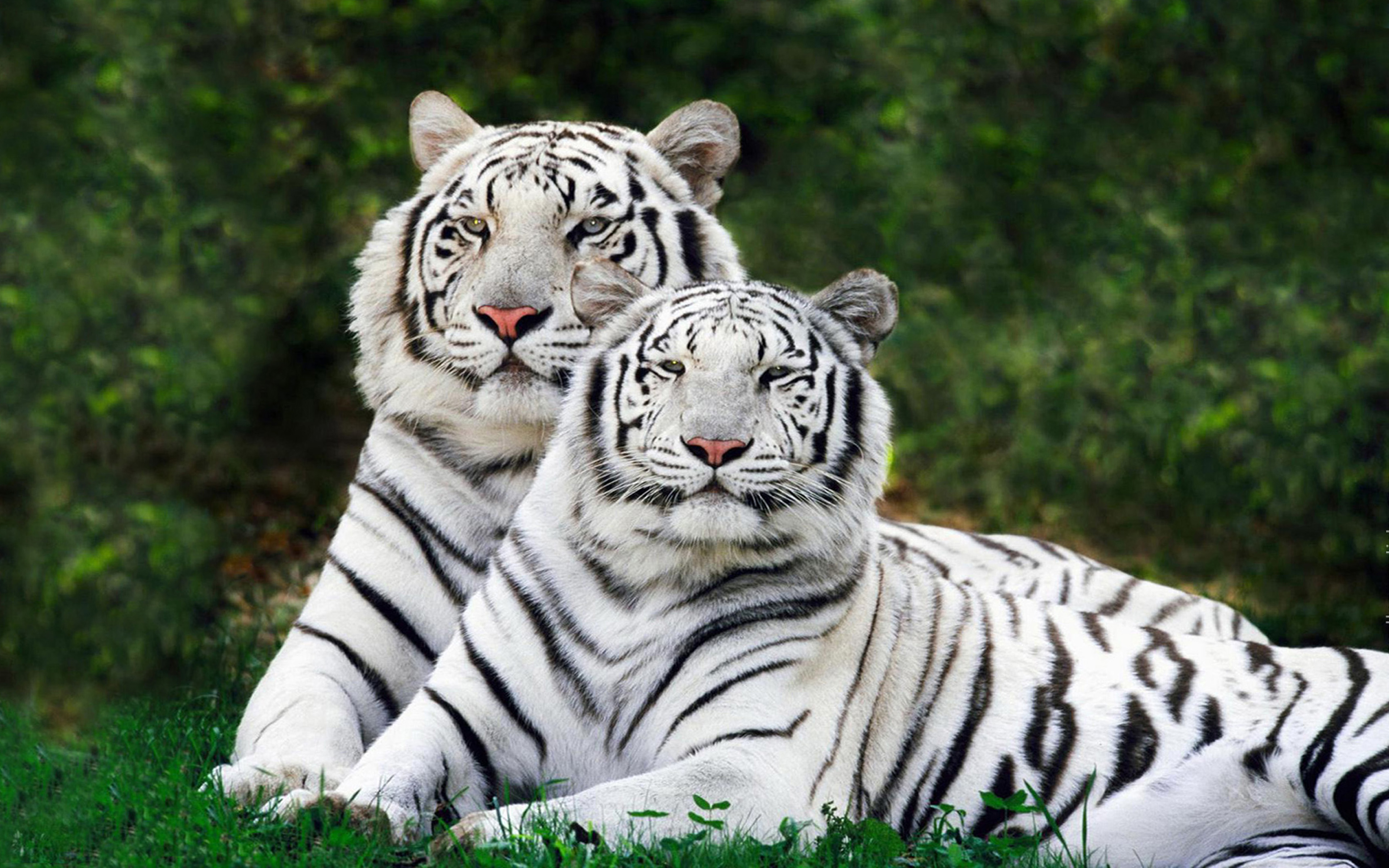 Hd Christmas Wallpapers 1080p Pair Of Tigers Wallpaper Hd Mobile Phone And Pc
