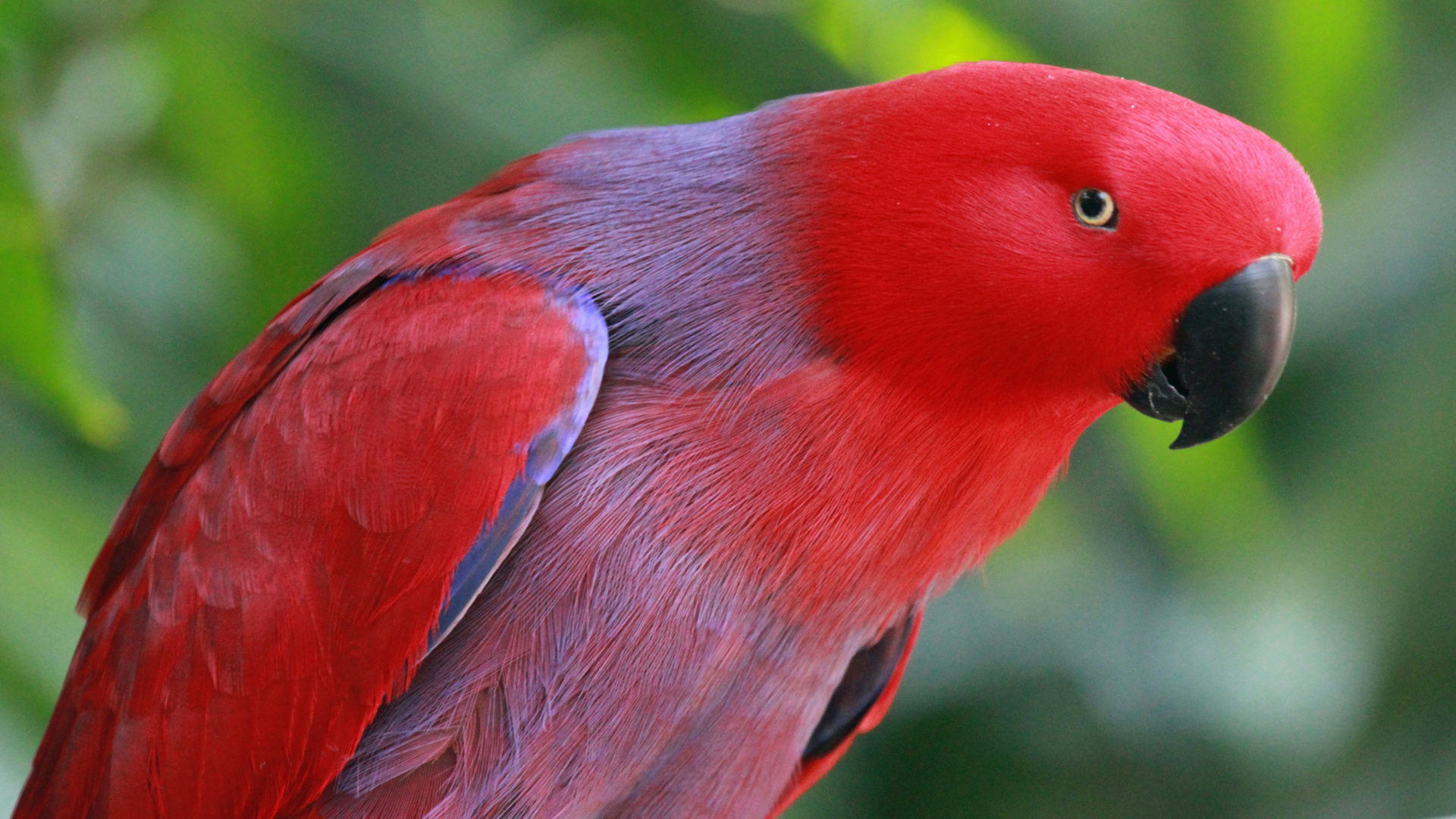 Baby Pink Iphone Wallpaper Red Eclectus Parrot Hd Wallpaper Wallpapers13 Com