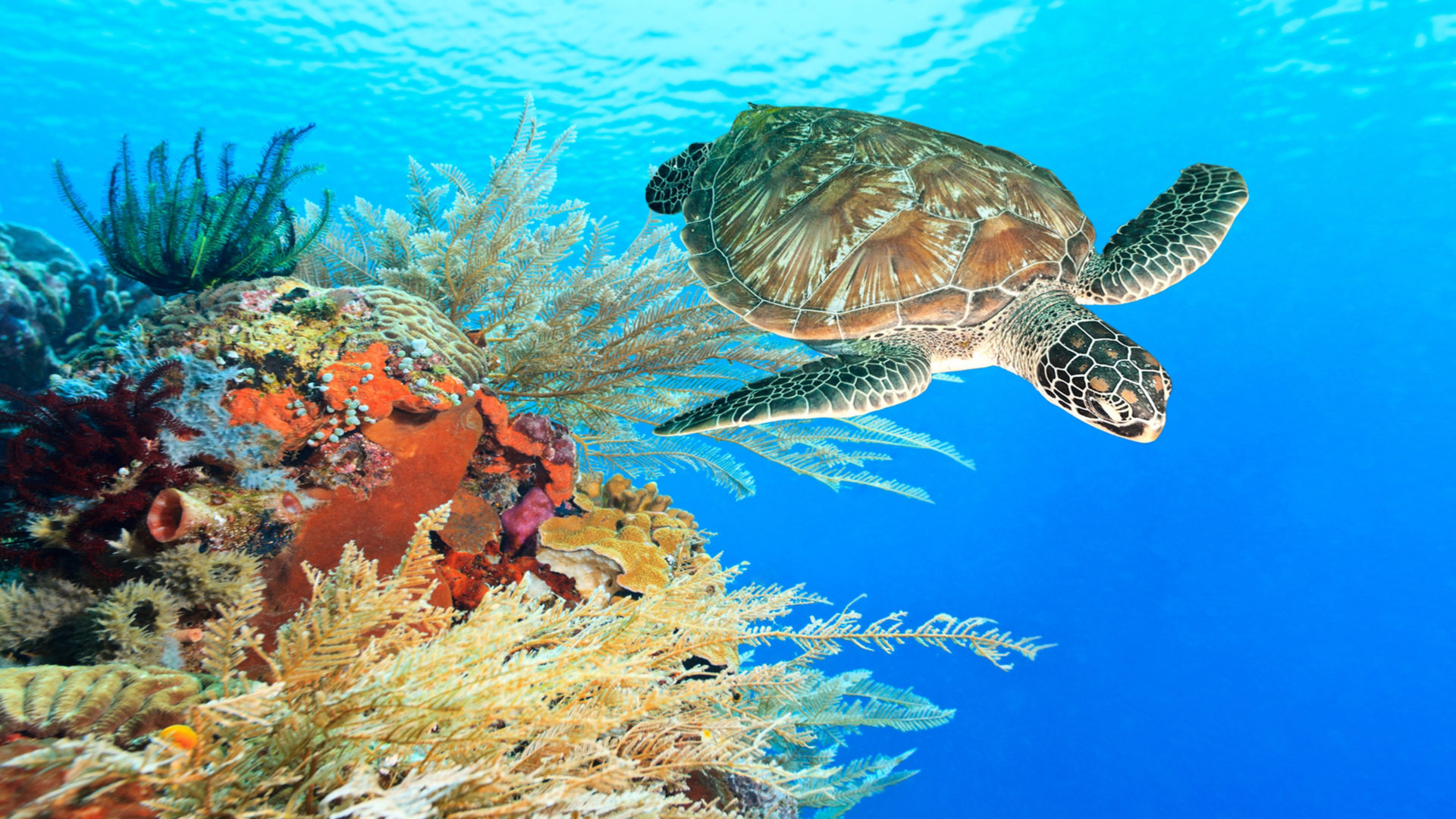 Fall Wallpaper For Android Tablet Turtle Swimming Underwater Among The Coral Reef