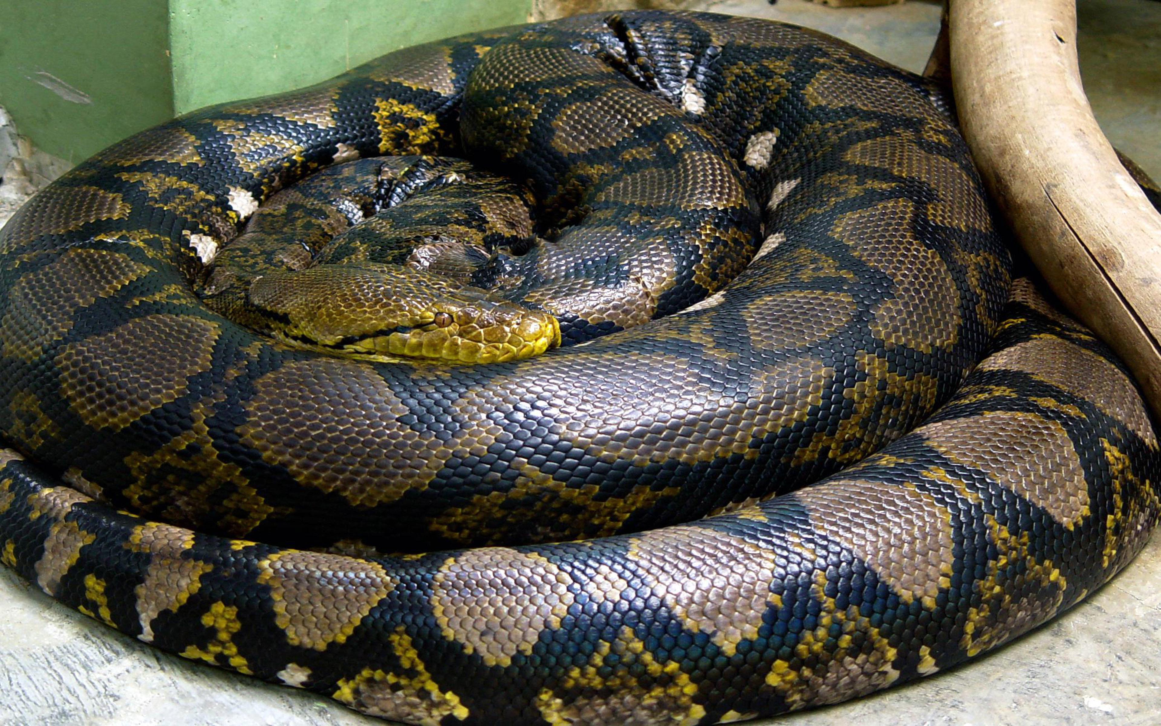 Cute Duck Hd Wallpaper Snake Circle Reptile Anaconda Animals Hd Wallpaper
