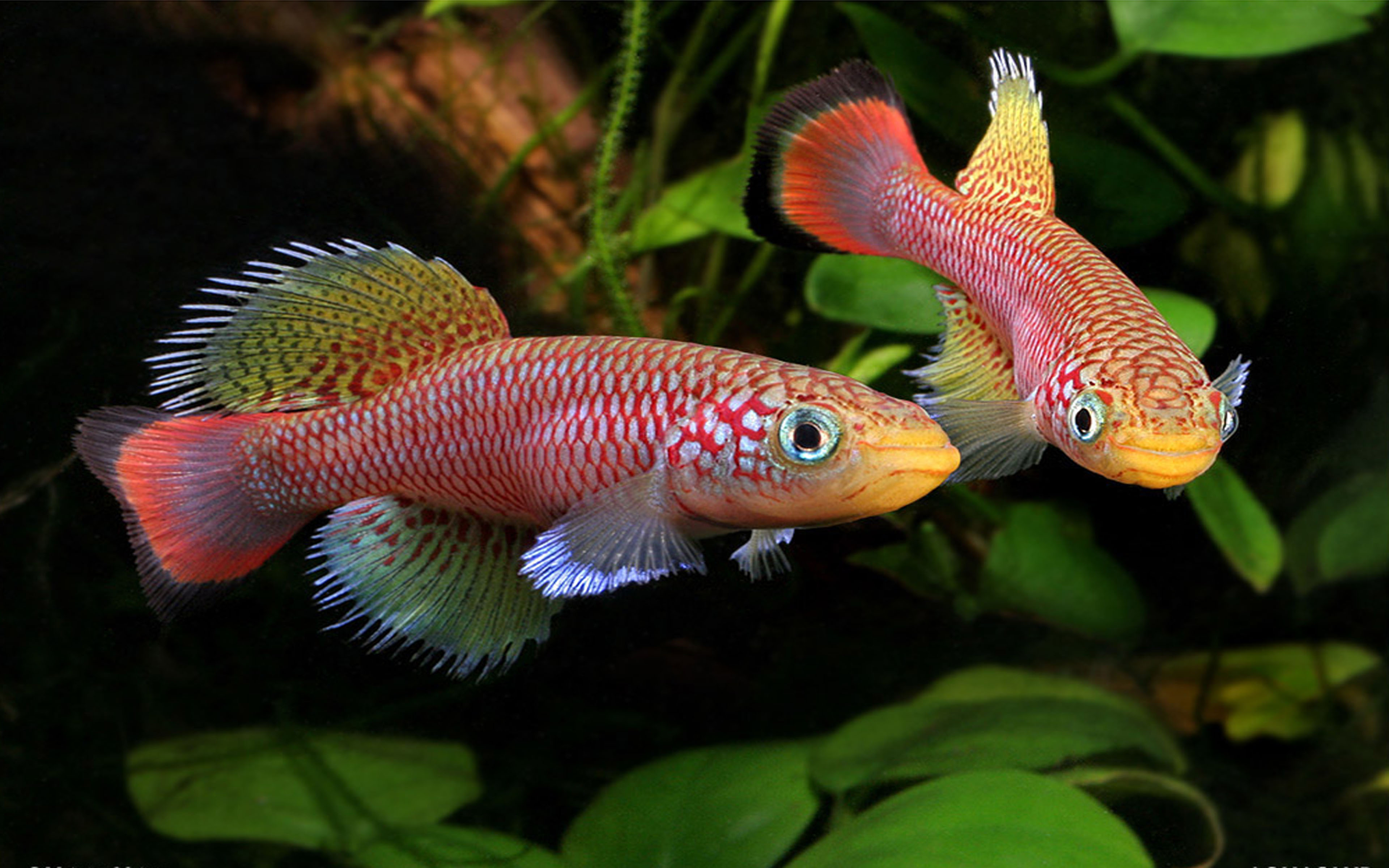How To Get An Animated Wallpaper Windows 10 Tropical Freshwater Species Killifish Dekstop Wallpaper Hd