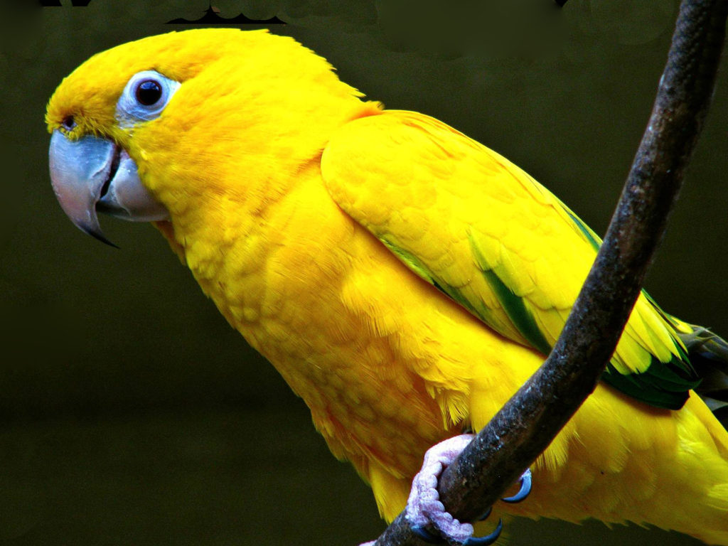 Hunting Iphone Wallpaper Yellow Parrot Wallpaper Hd For Mobile Phone Wallpapers13 Com