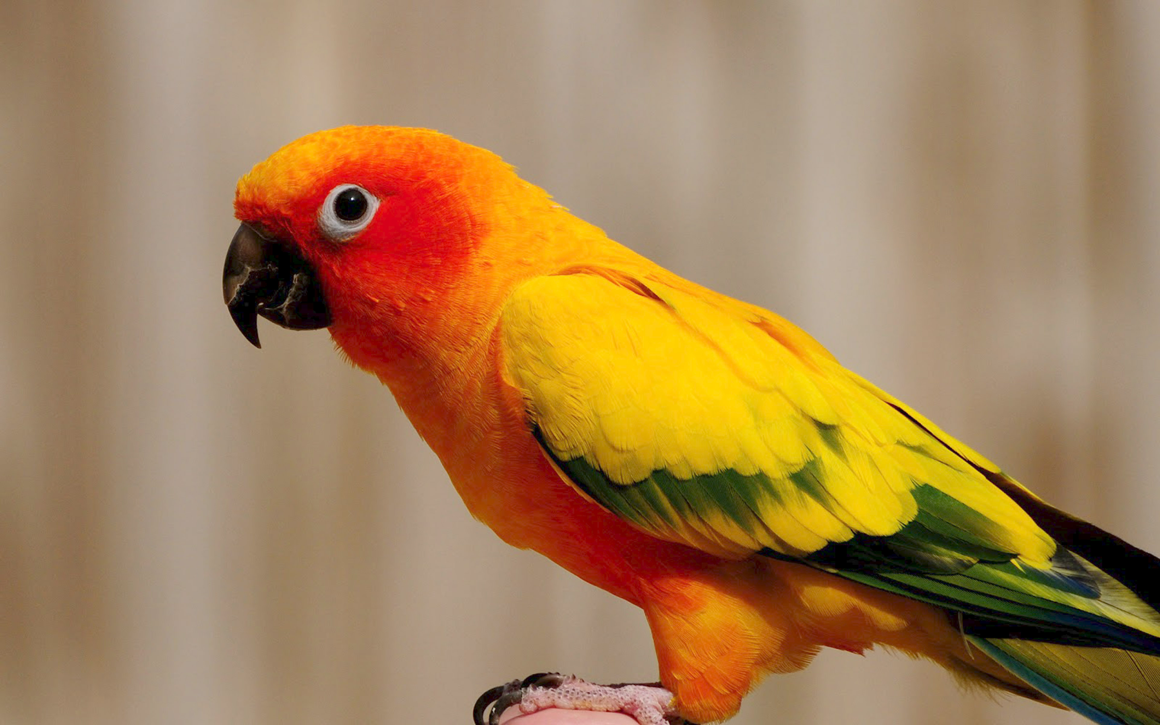 Free Download Cute Baby Wallpaper For Pc Yellow Parrot Wallpaper Hd 3840x2400 Wallpapers13 Com