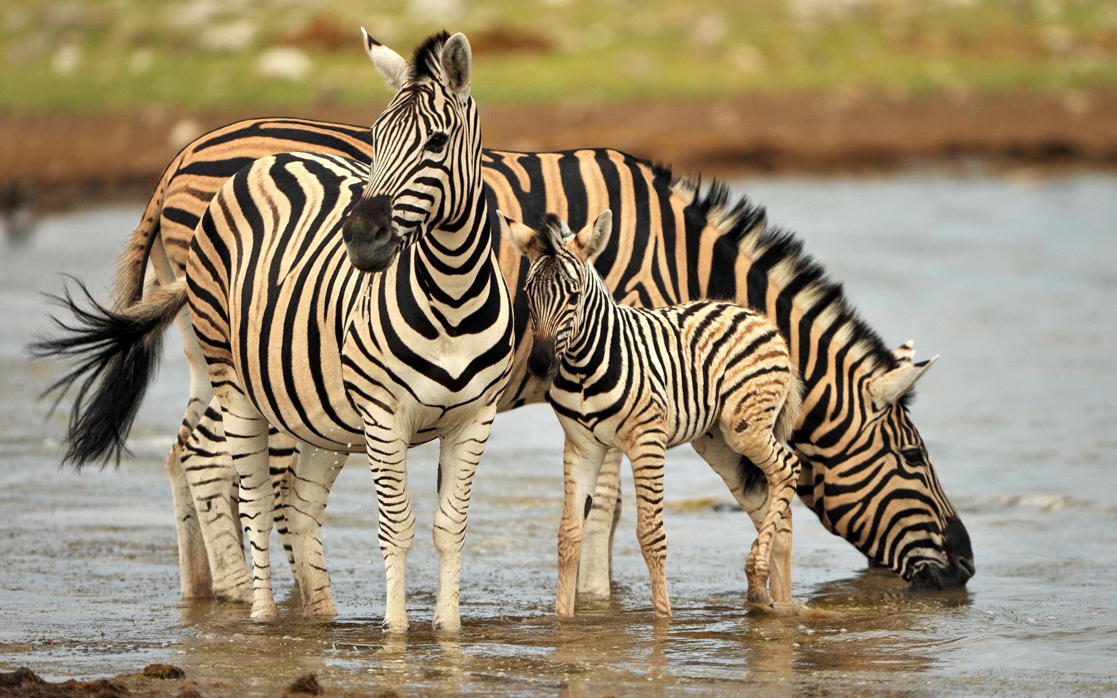 Cute Animal Christmas Wallpaper Zebra Family Drinking Water Wallpaper Hd Wallpapers13 Com