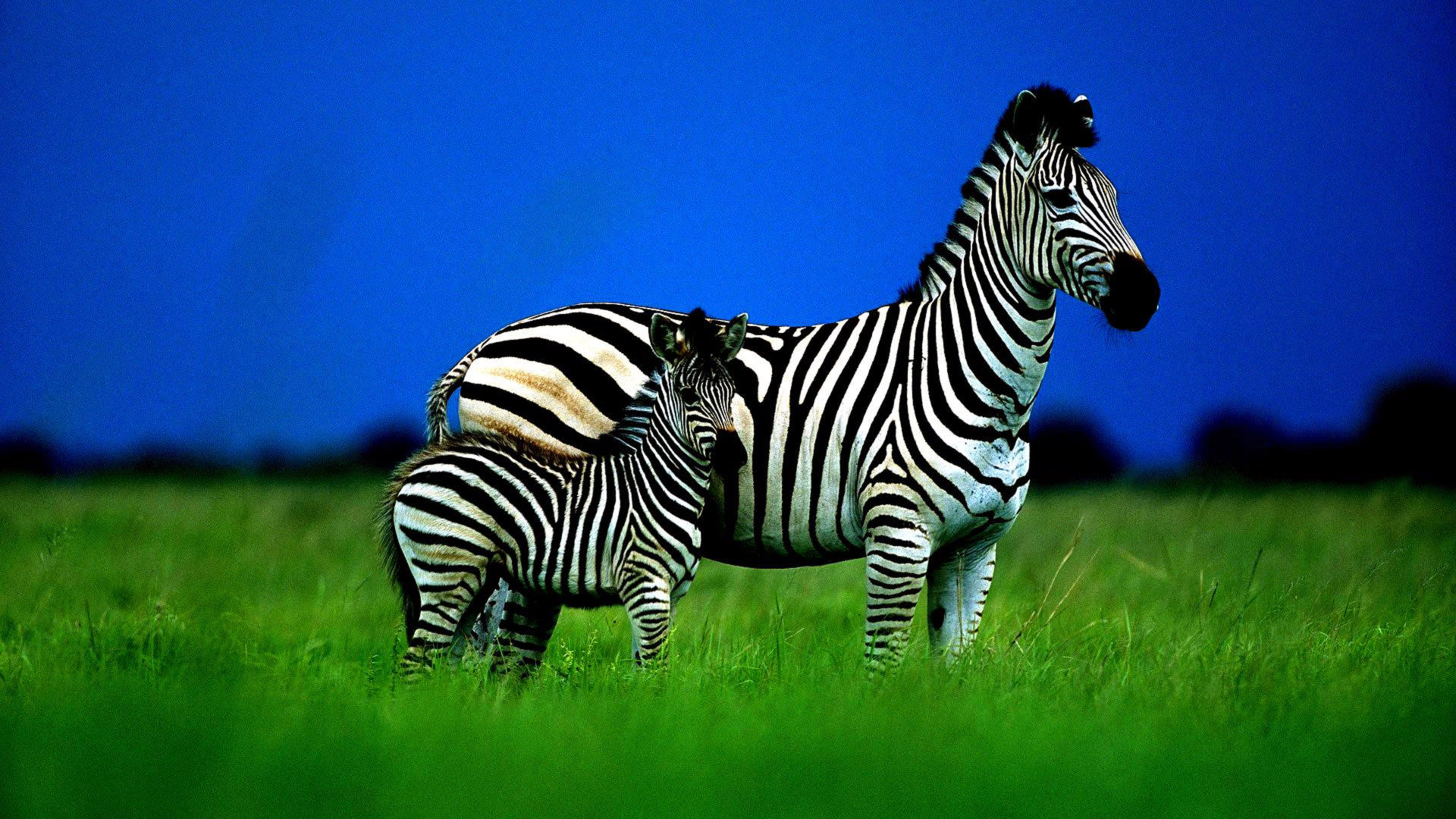 Wallpaper Hd For Desktop Full Screen Cute Baby Zebra Family Striped Grass Sky Cub Hogh Contrast Hd