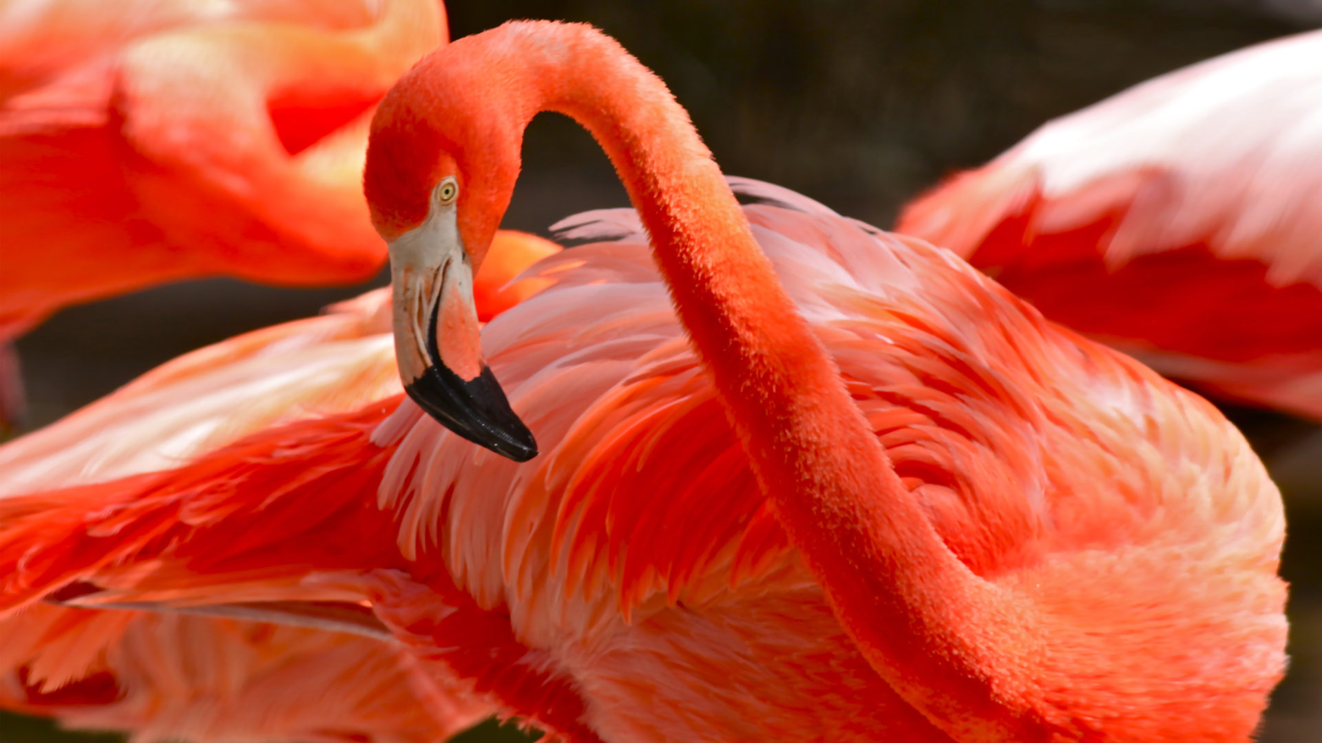 Free Fall Wallpaper With Animals Caribbean Flamingos Pink Or Red Color Of Flamingos Comes