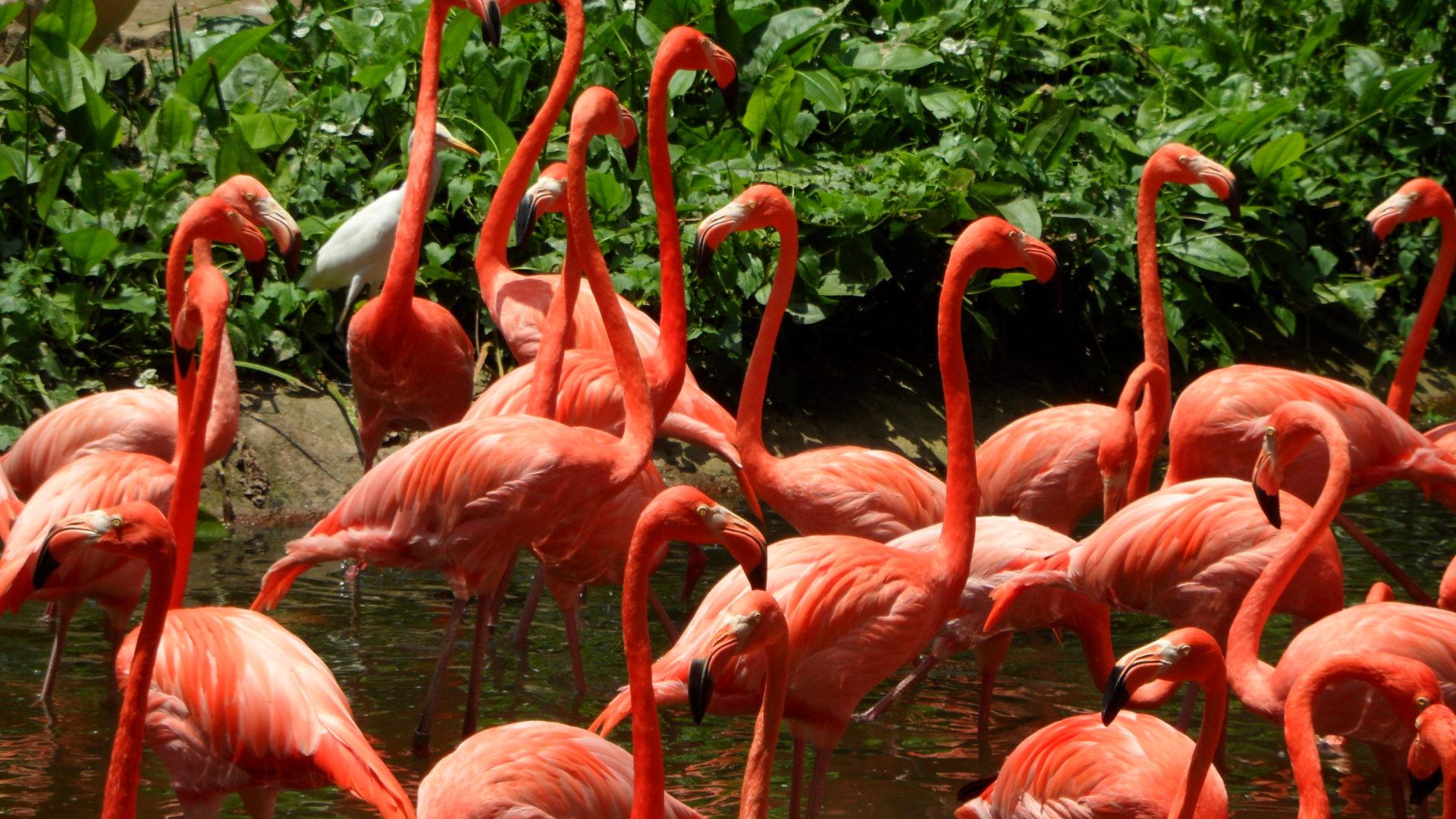 Flamingo Iphone Wallpaper Flamingos Birds Singapore Jurong Park Desktop Wallpaper