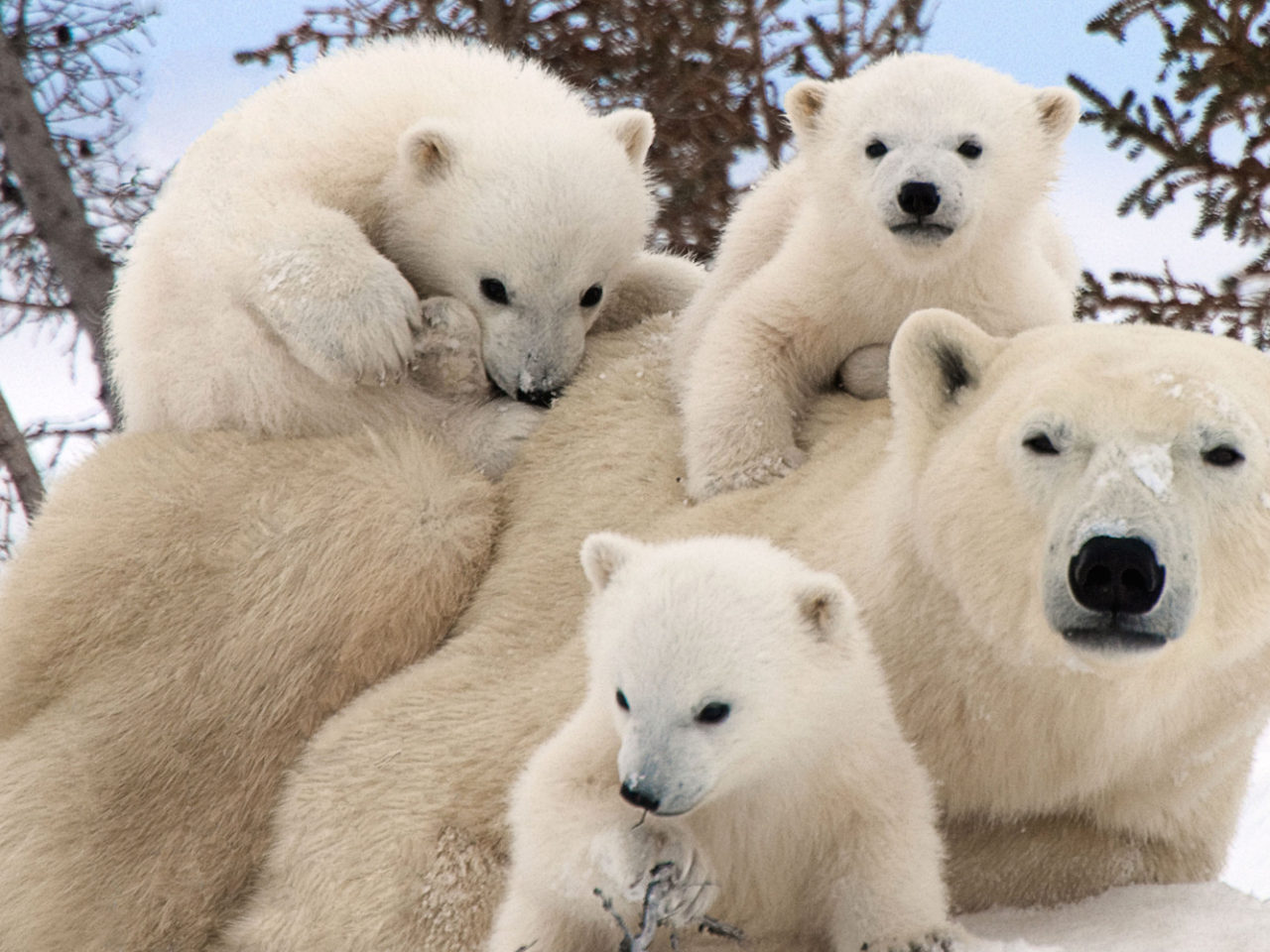 Cute Baby Pictures Desktop Wallpapers Polar Bear Family Portraits Wallpapers13 Com