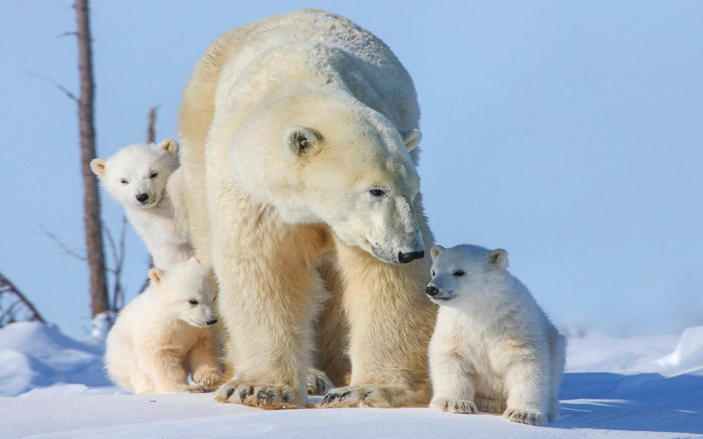 Cute Lion Cubs Hd Wallpapers Polar Bear Family Three Small Cubs Desktop Wallpaper Hd
