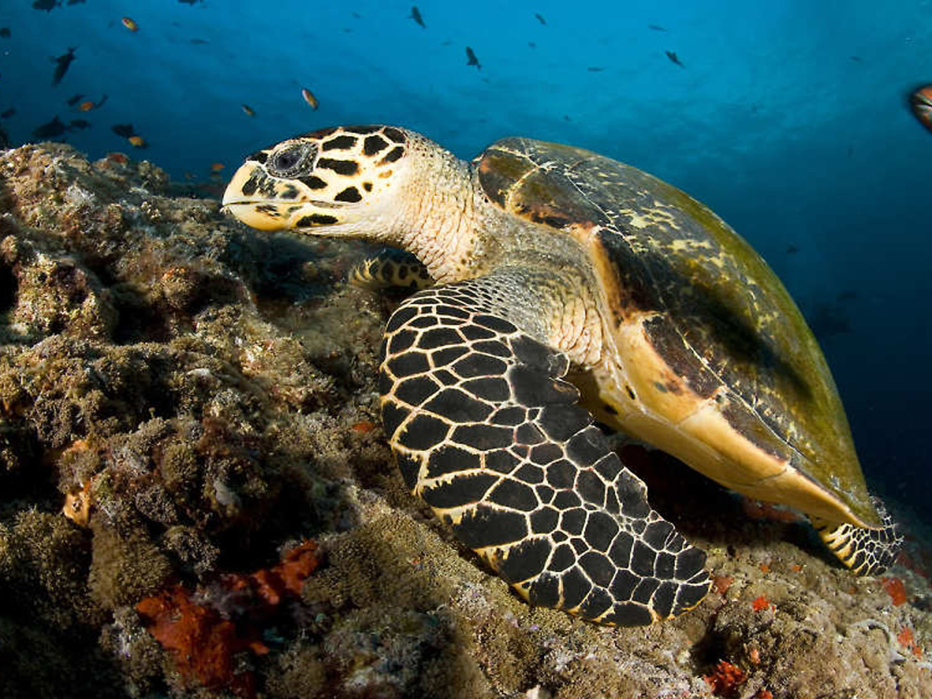 3d Fish Wallpapers For Desktop Sea Turtle Maldives Desktop Wallpaper Free Download