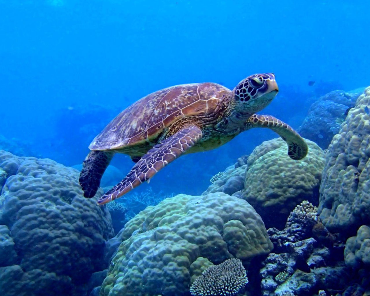 Sea Turtle Iphone Wallpaper Sea Turtle Swimming Underwater Scene Coral Image Desktop