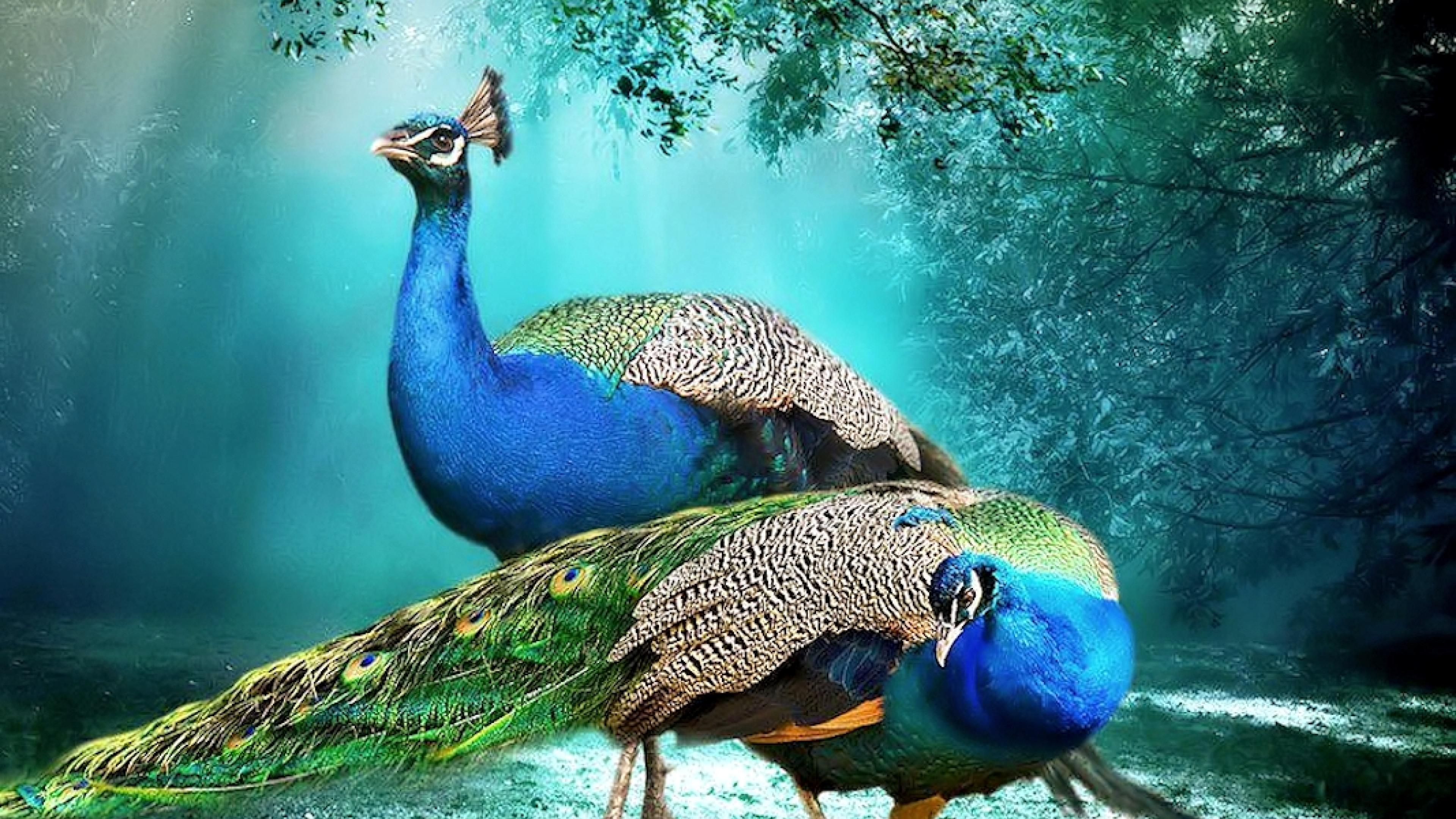 Nature Hd Wallpapers 1080p 3d Beautiful Background Peacock Pair Hd Wallpaper Beautiful