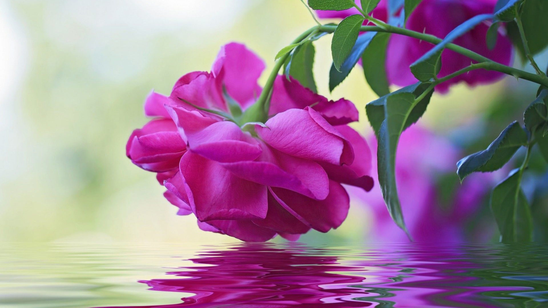 Hd Rose Wallpaper For Pc Beautiful Flower Pink Rose Green Leaves Reflection In