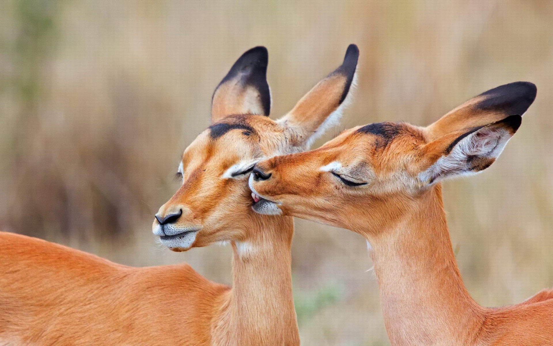 3d Wallpapers For Pc 1920x1080 Free Download Impala Animal Hd Wallpapers Wallpapers13 Com