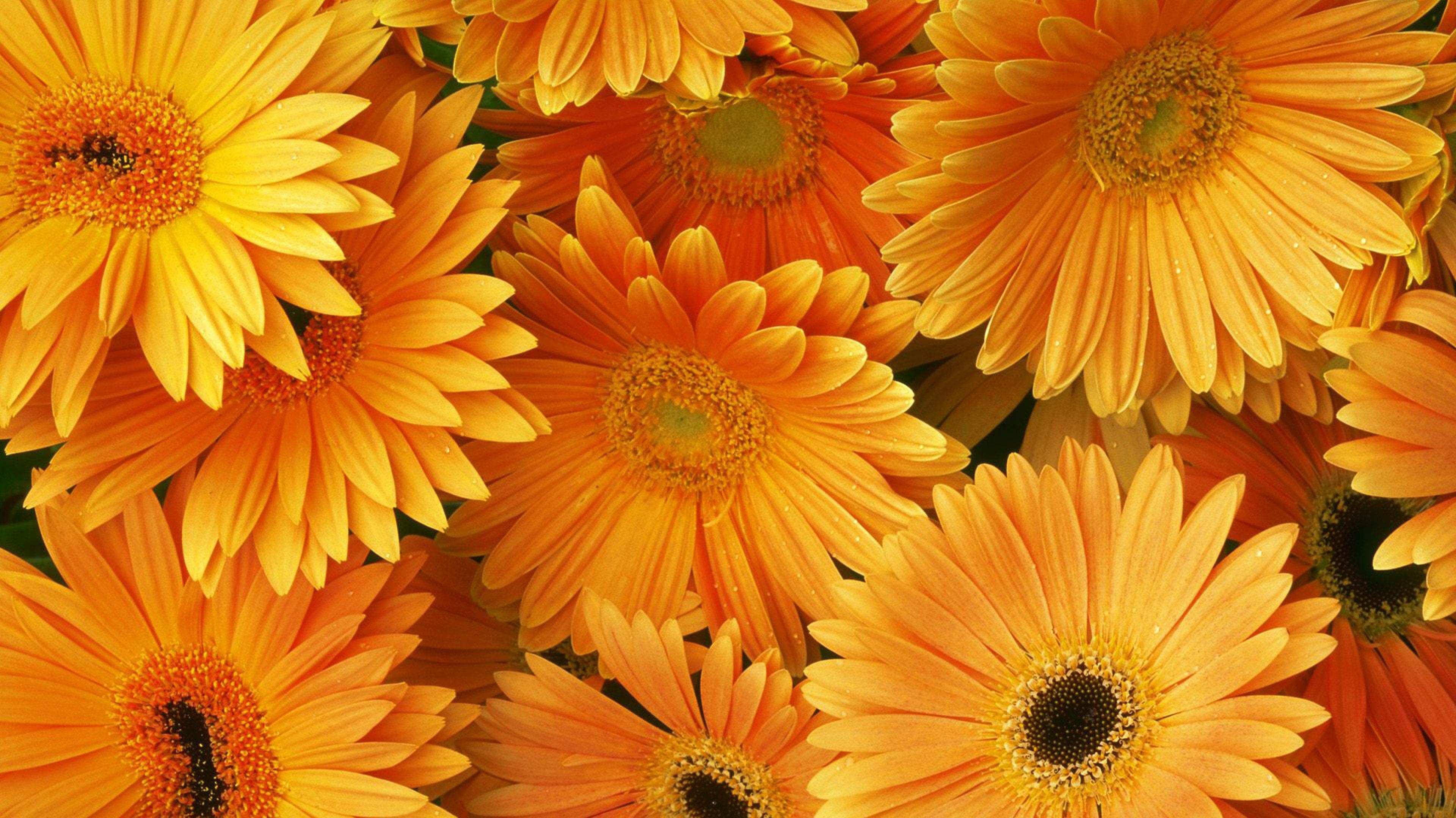 Fall Computer Screen Wallpaper Orange Flowers Hd Desktop Backgrounds Free Download