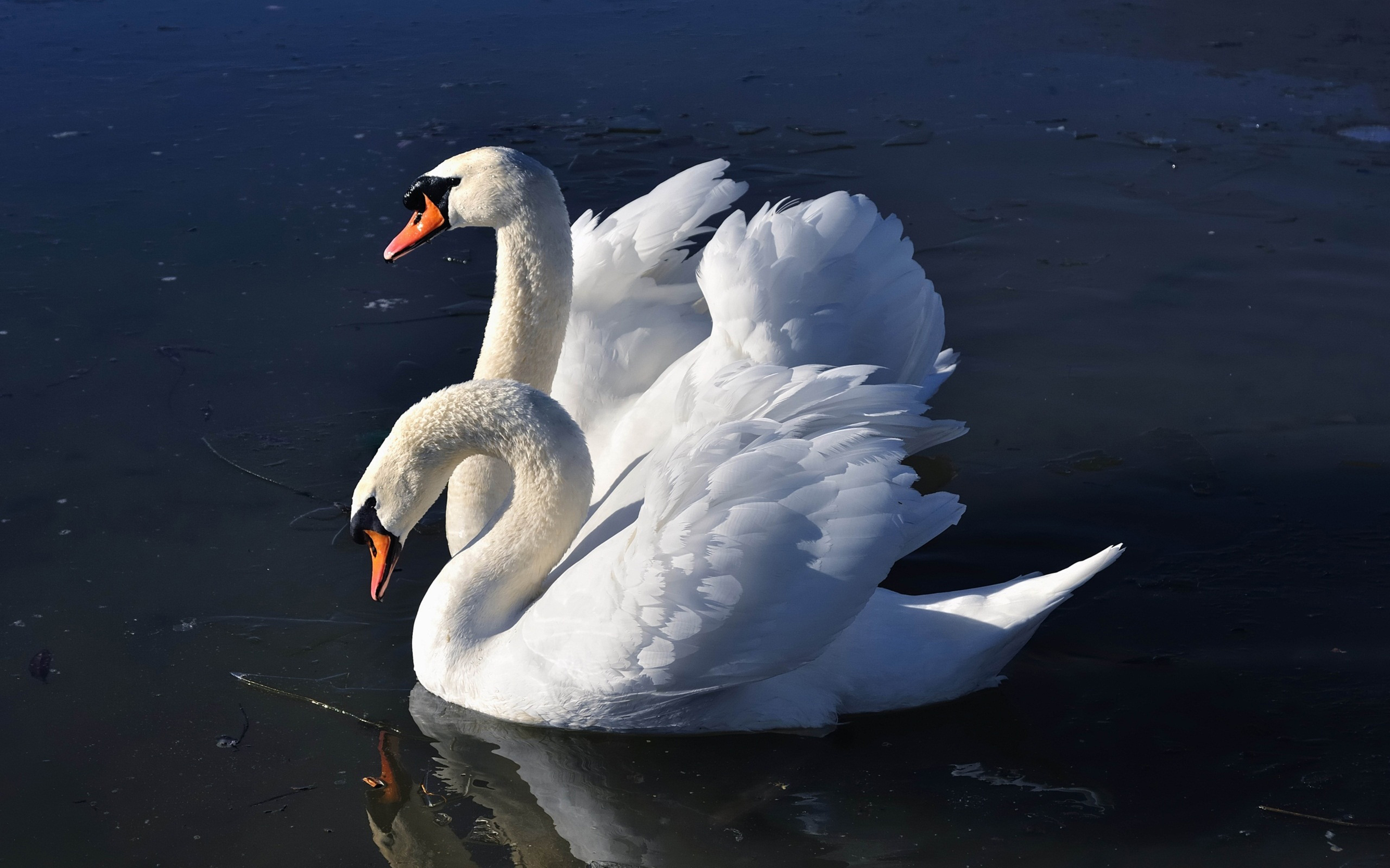 Cute Animated Wallpapers Gif Pair Of White Swans Wallpaper Widescreen Hd 3840x2400