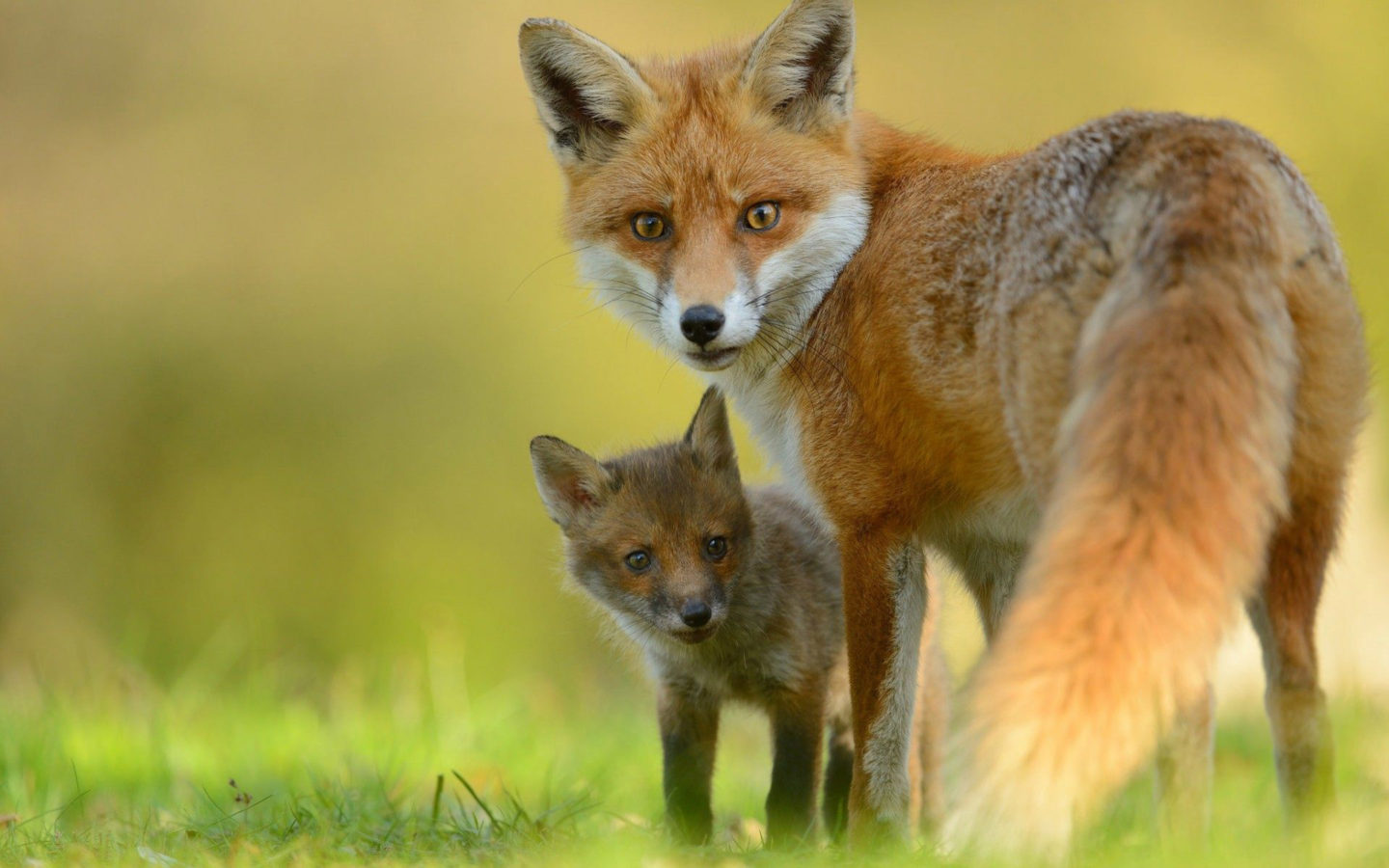 Hd Wallpapers Fire Cars Red Fox Amp Cute Little Fox Hd Wallpaper Wallpapers13 Com