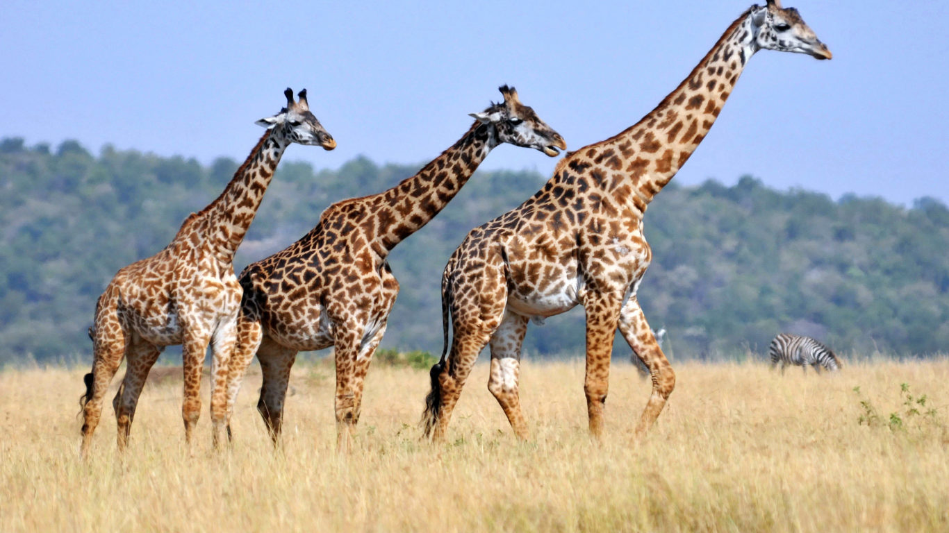 Falling Water Live Wallpaper Three Giraffes Animals With Long Neck Striped Body Casts