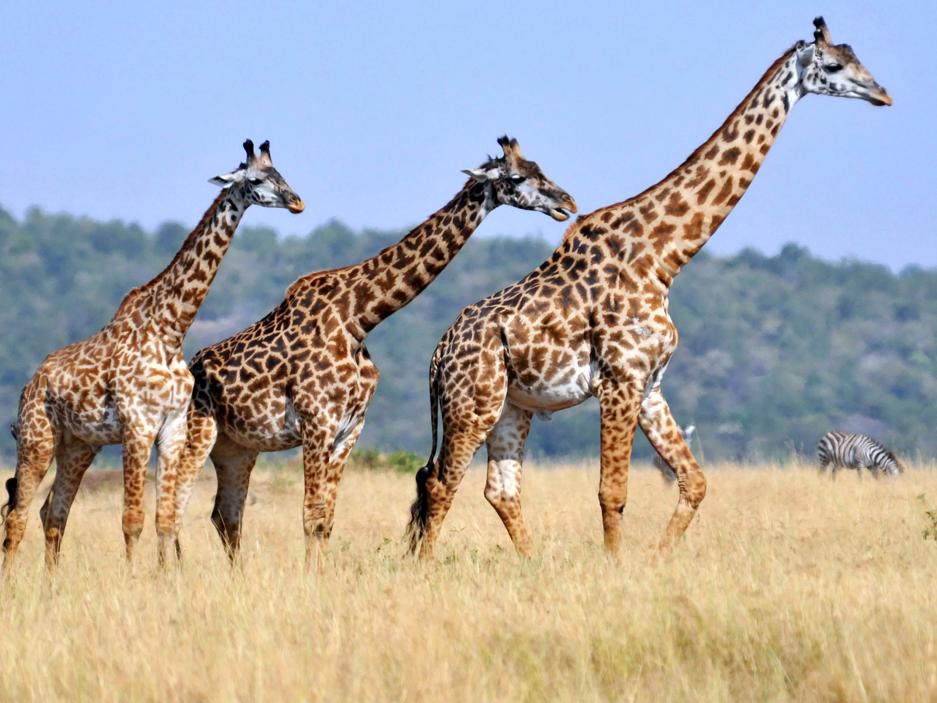 Animal Wild Wallpaper Hd 3d Three Giraffes Animals With Long Neck Striped Body Casts