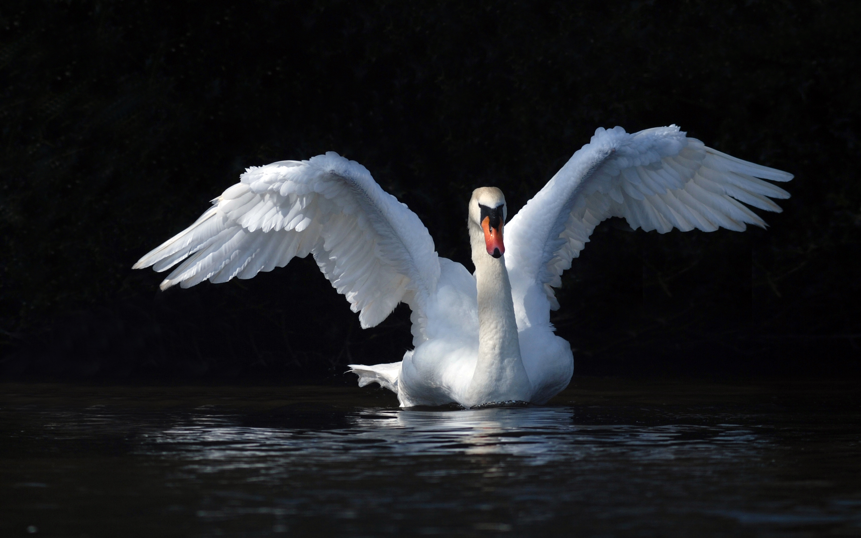 3d Windows Phone Wallpaper White Swan With Outstretched Wings Water Hd Wallpaper