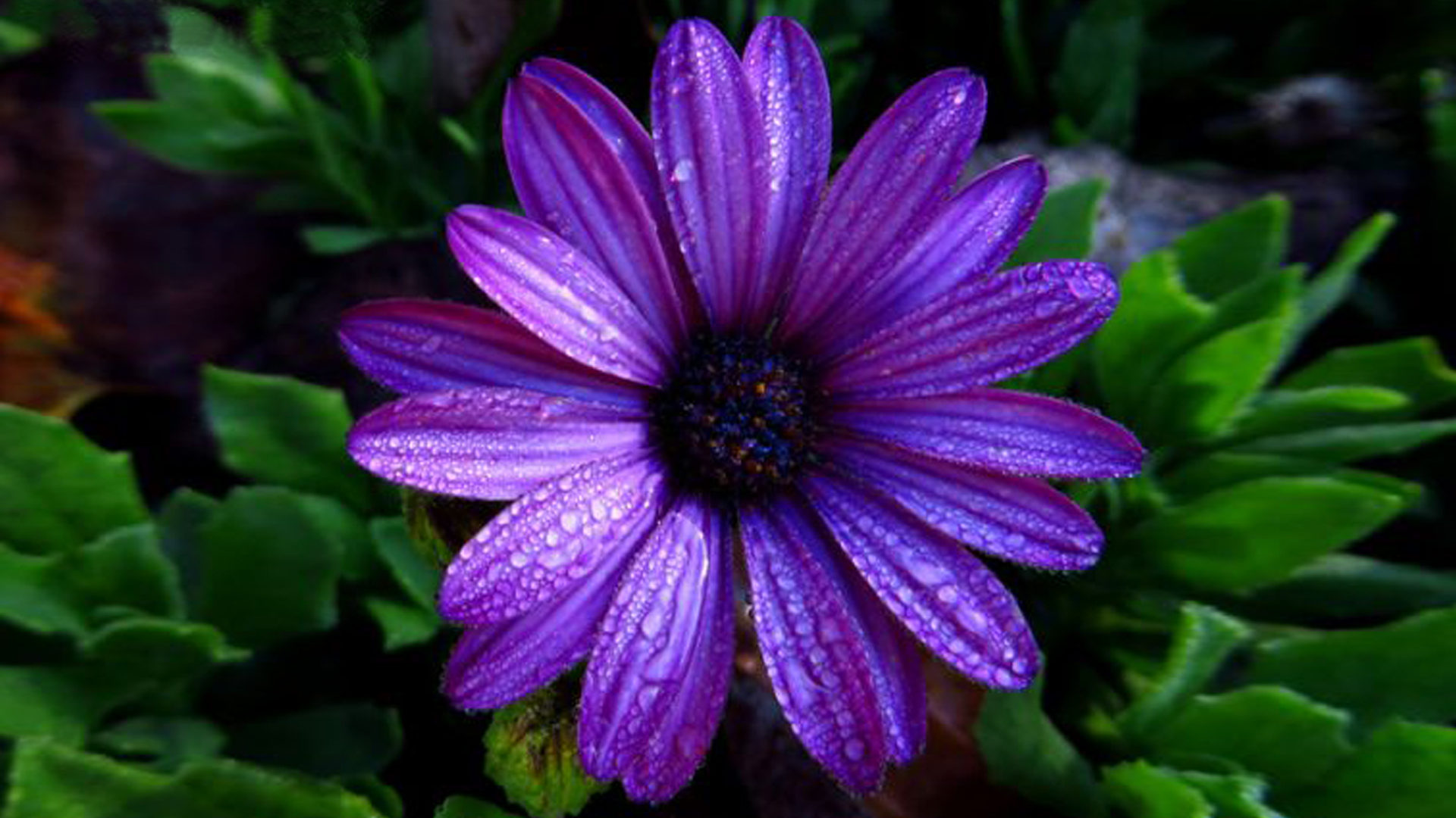 Download Gambar Wallpaper 3d Aster Flower Dark Purple Color With Water Droplets Full Hd